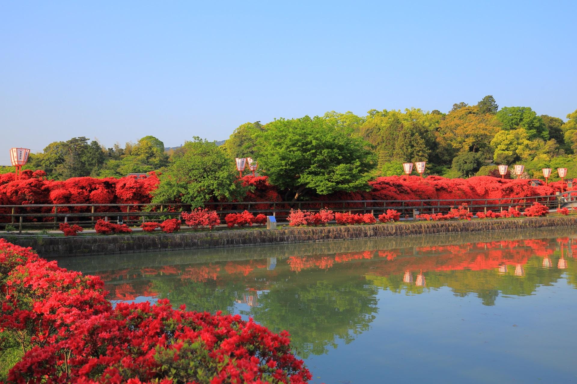 京都を代表するキリシマツツジの名所の長岡天満宮(八条が池)