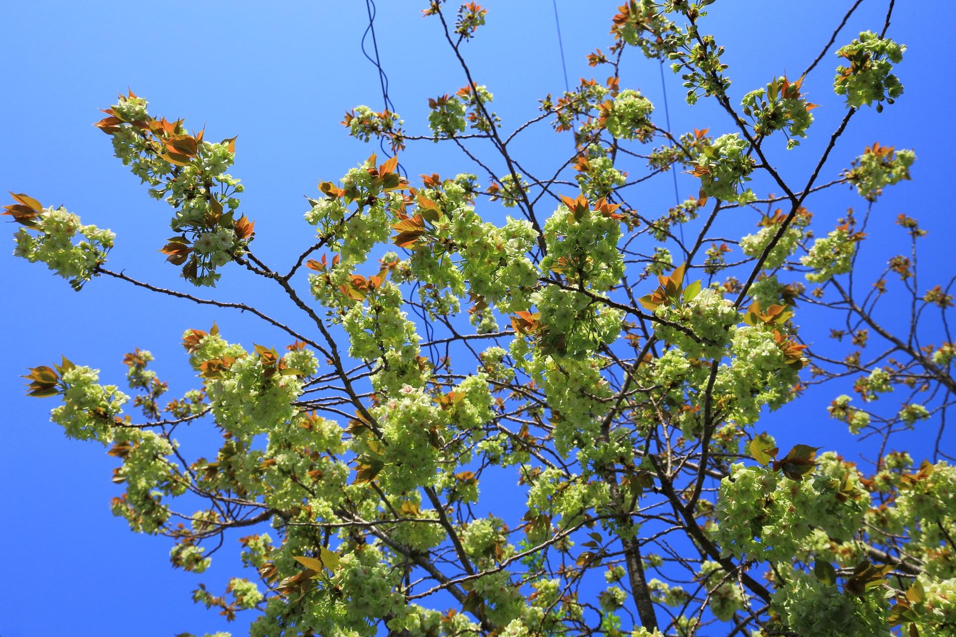 高画質 写真 緑の桜 雨宝院
