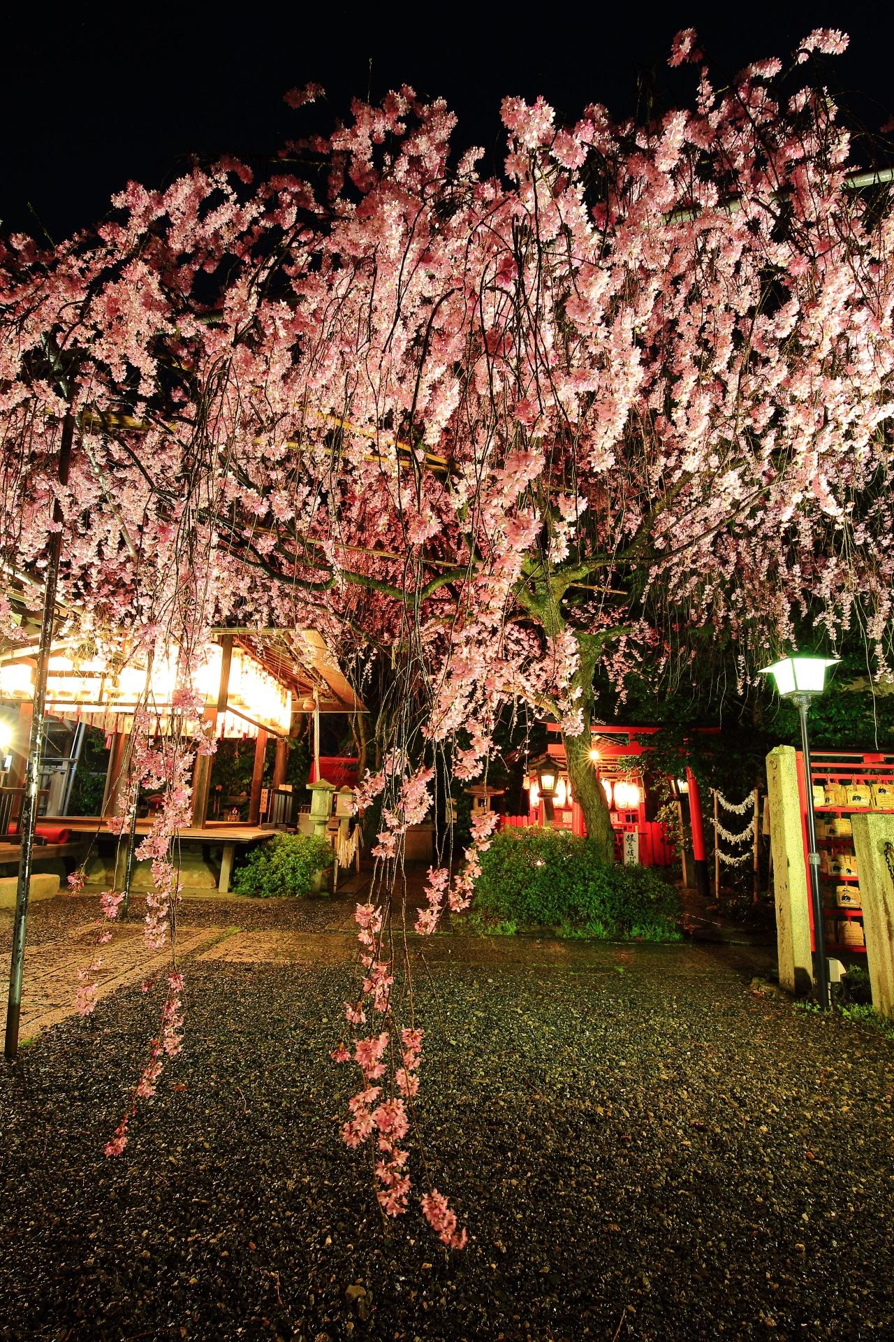 Kyoto Suika-tenmangu-shrine cherry blossoms lightup