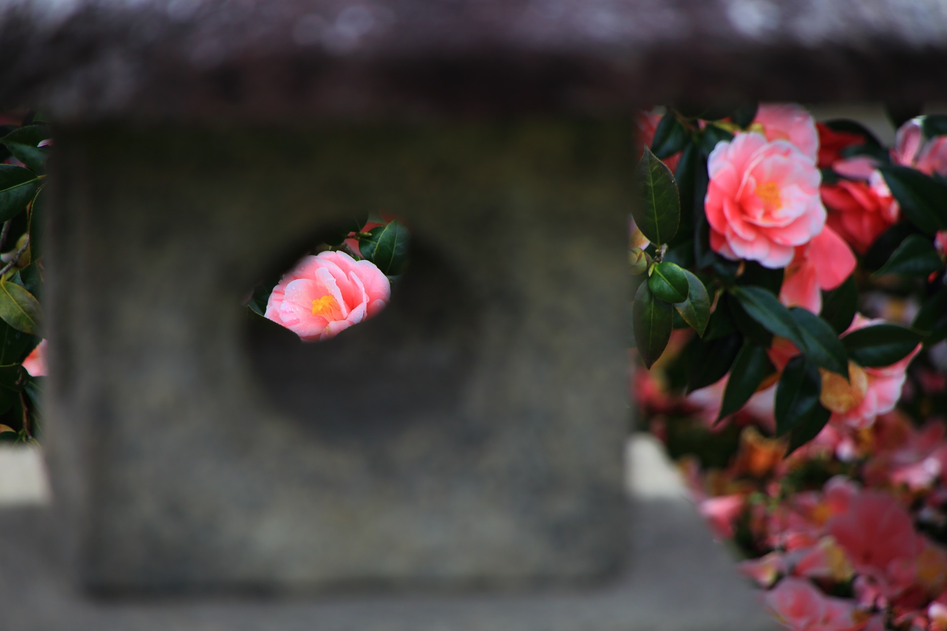 地蔵院の燈籠と椿と散り椿の風情ある情景