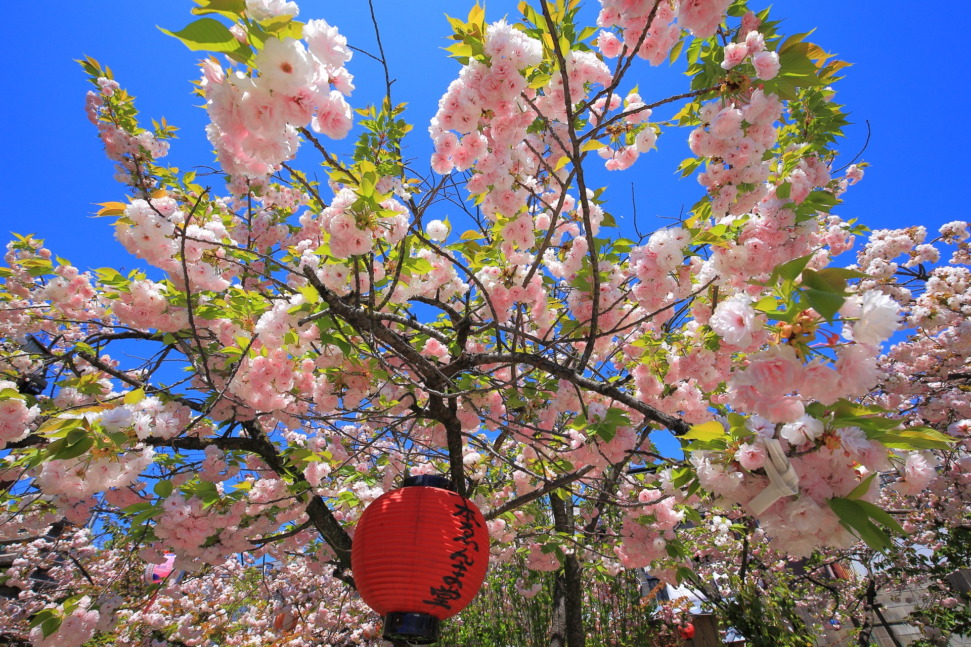 遅咲きのゑんま堂普賢象桜