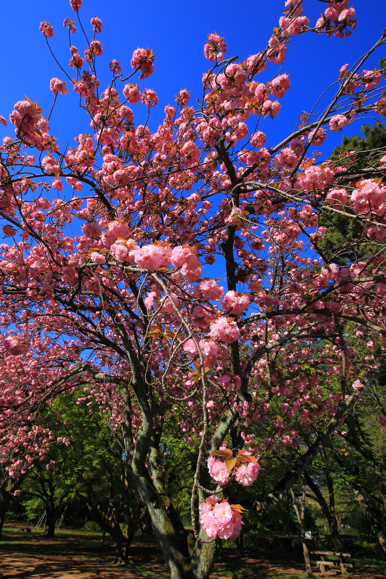 cherryblossoms in Kyoto gyoen,Japan