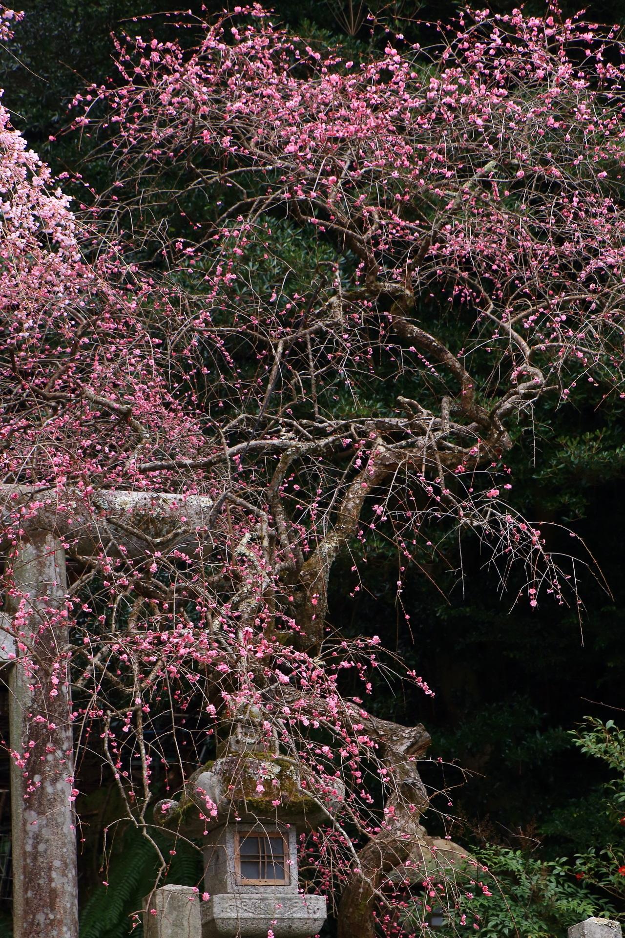 本来は盆栽などに使われる大きなしだれ梅