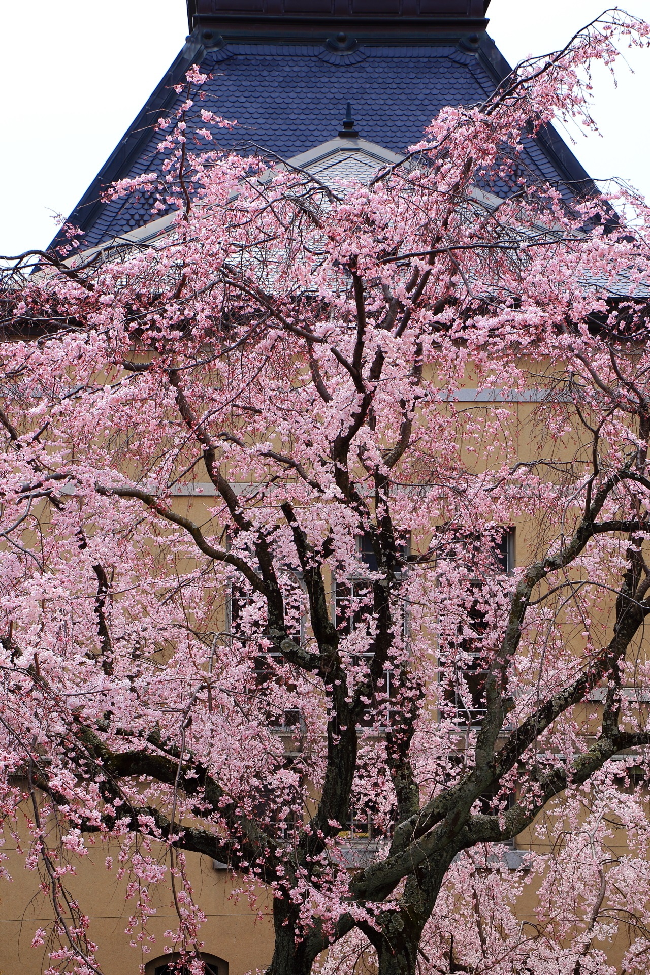 Kyoto Prefectural Government Old Main Building cherry blossoms