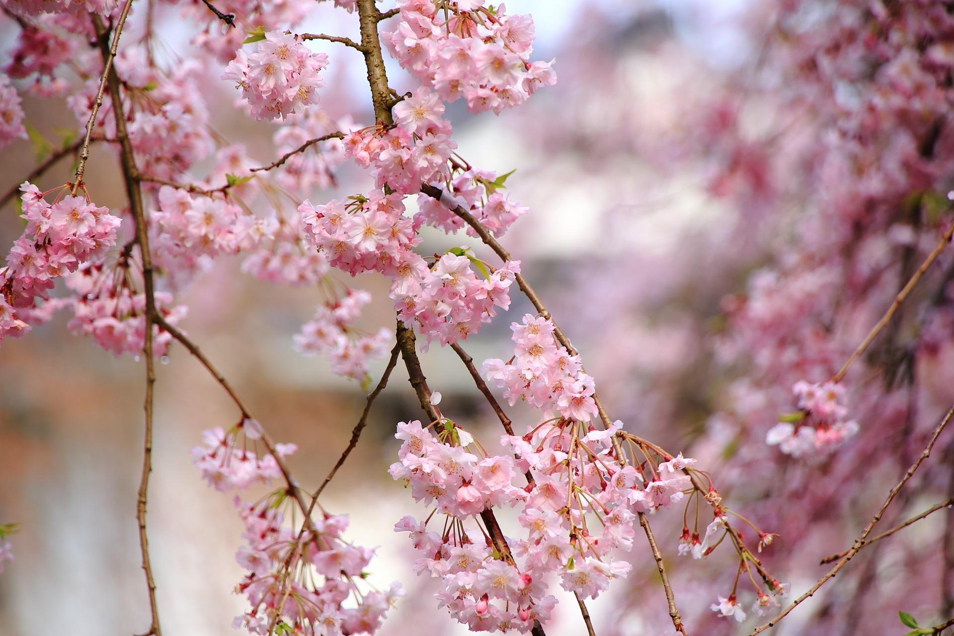 繊細で可愛いピンクの花びら