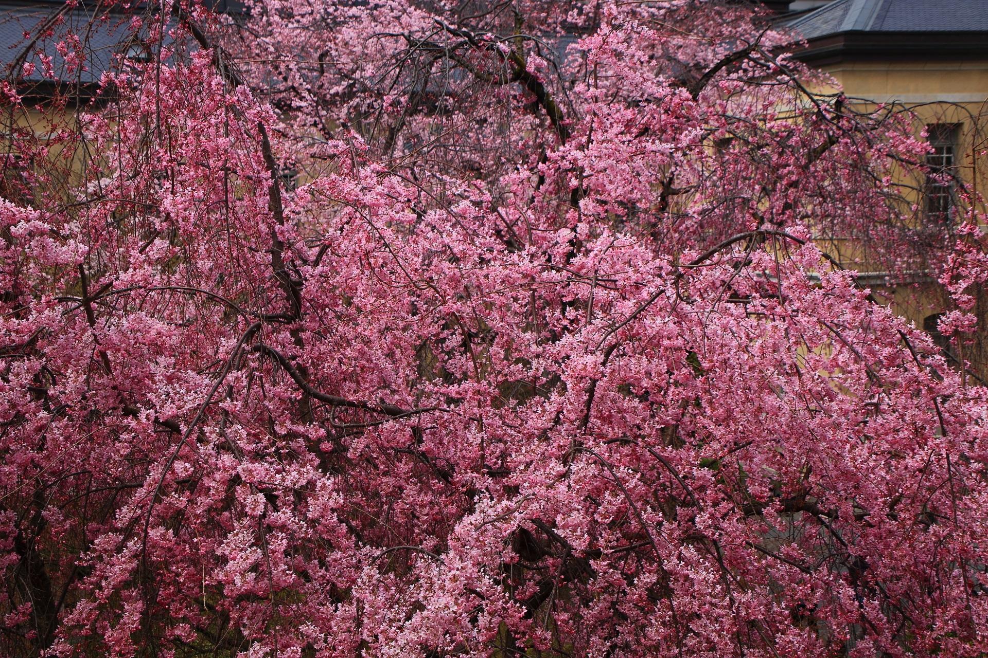 レトロ建築につつまれた溢れ出すピンクの桜