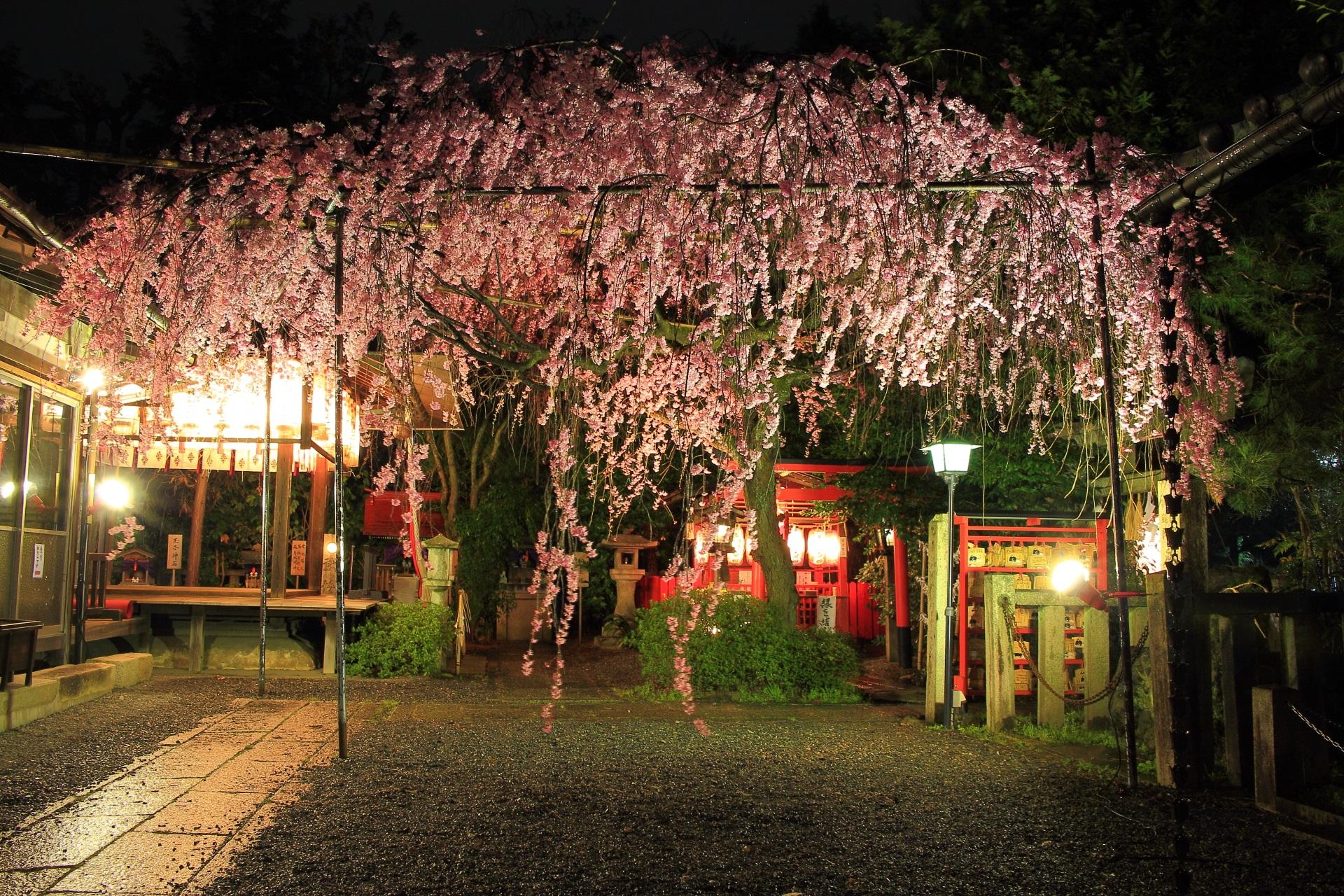 水火天満宮の幻想的なしだれ桜のライトアップ