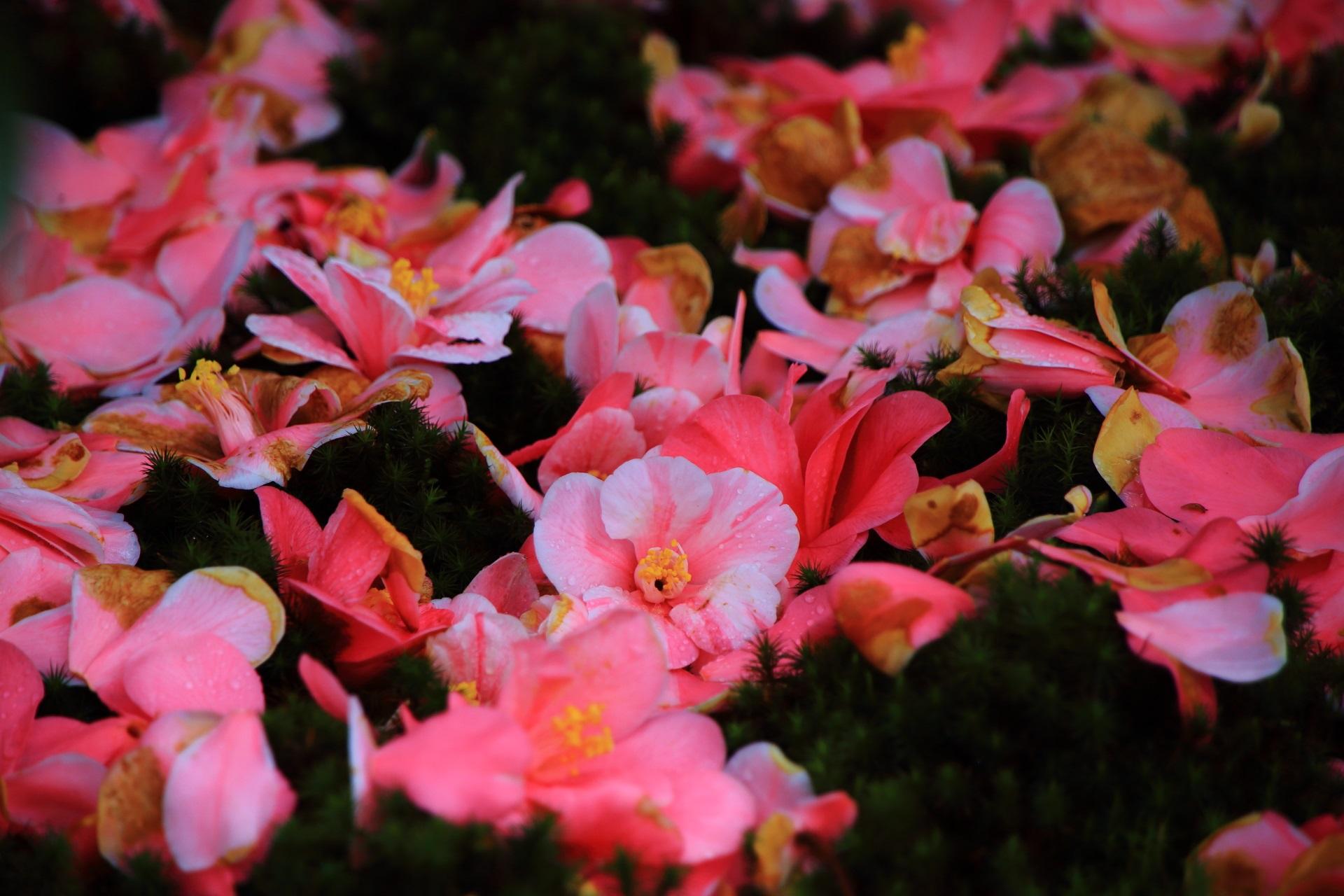 花びらも散って落ちる五色八重散椿