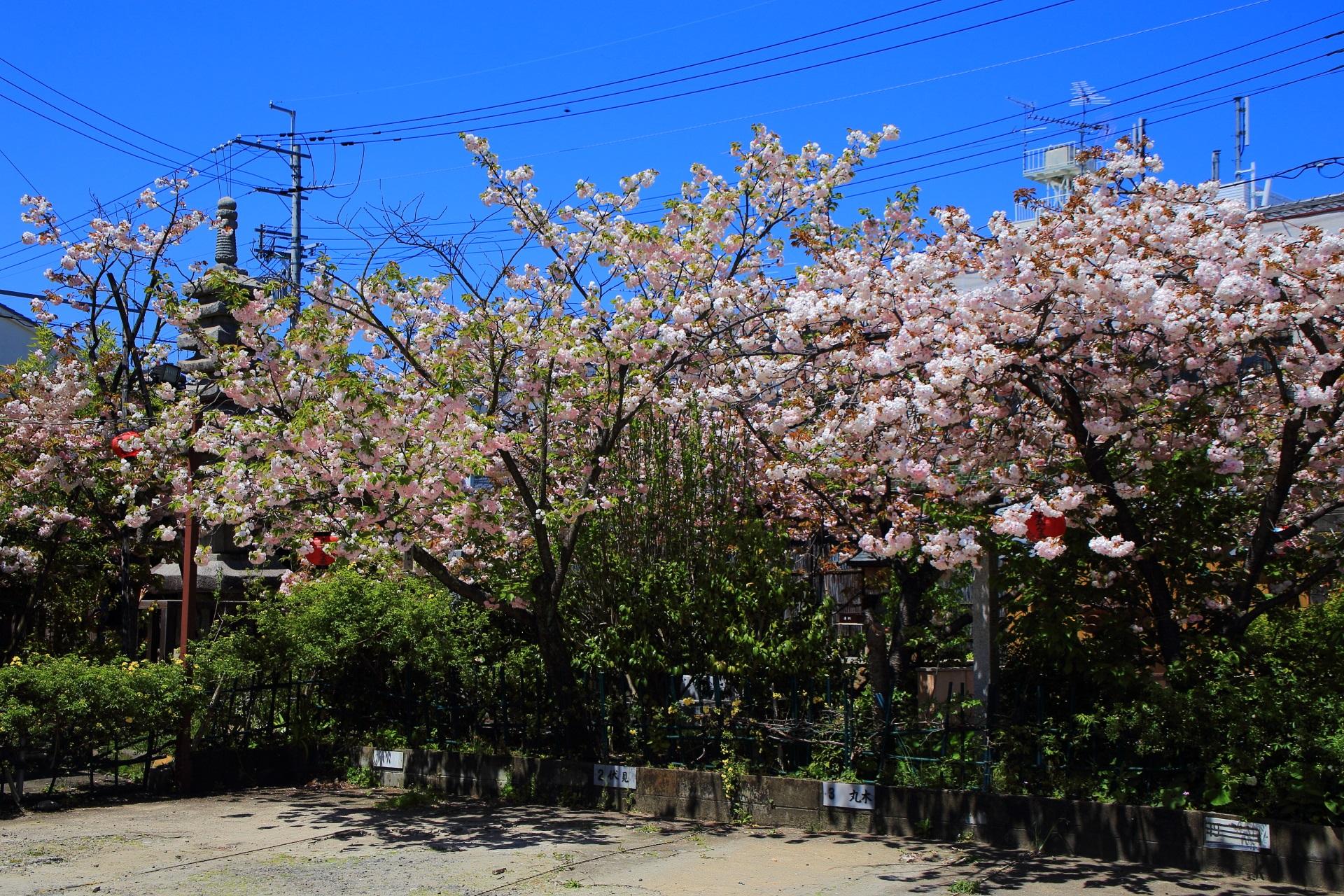 境内の北側(北西側)にある美しい八重桜