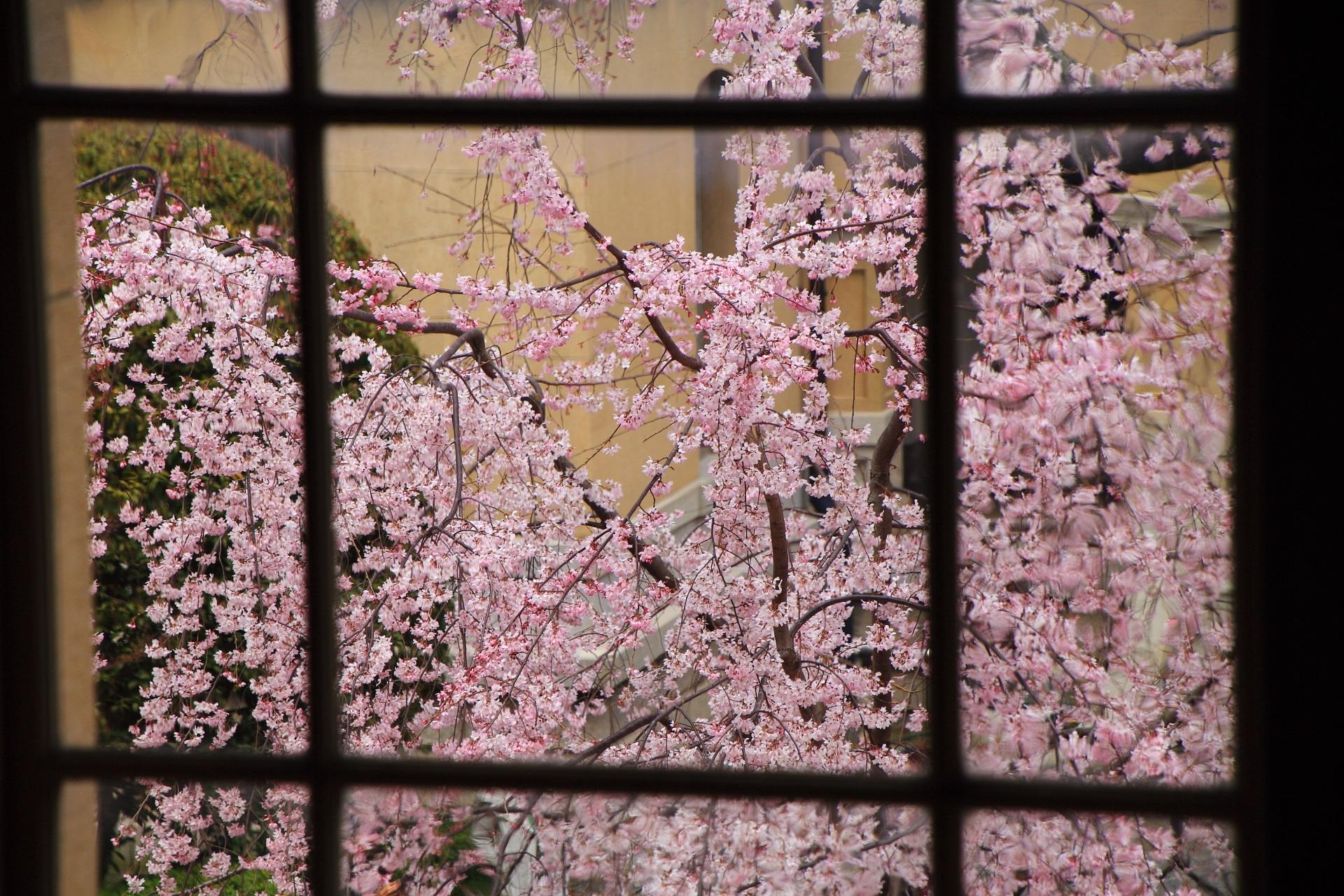 2階の窓から少し見下ろした可憐な桜
