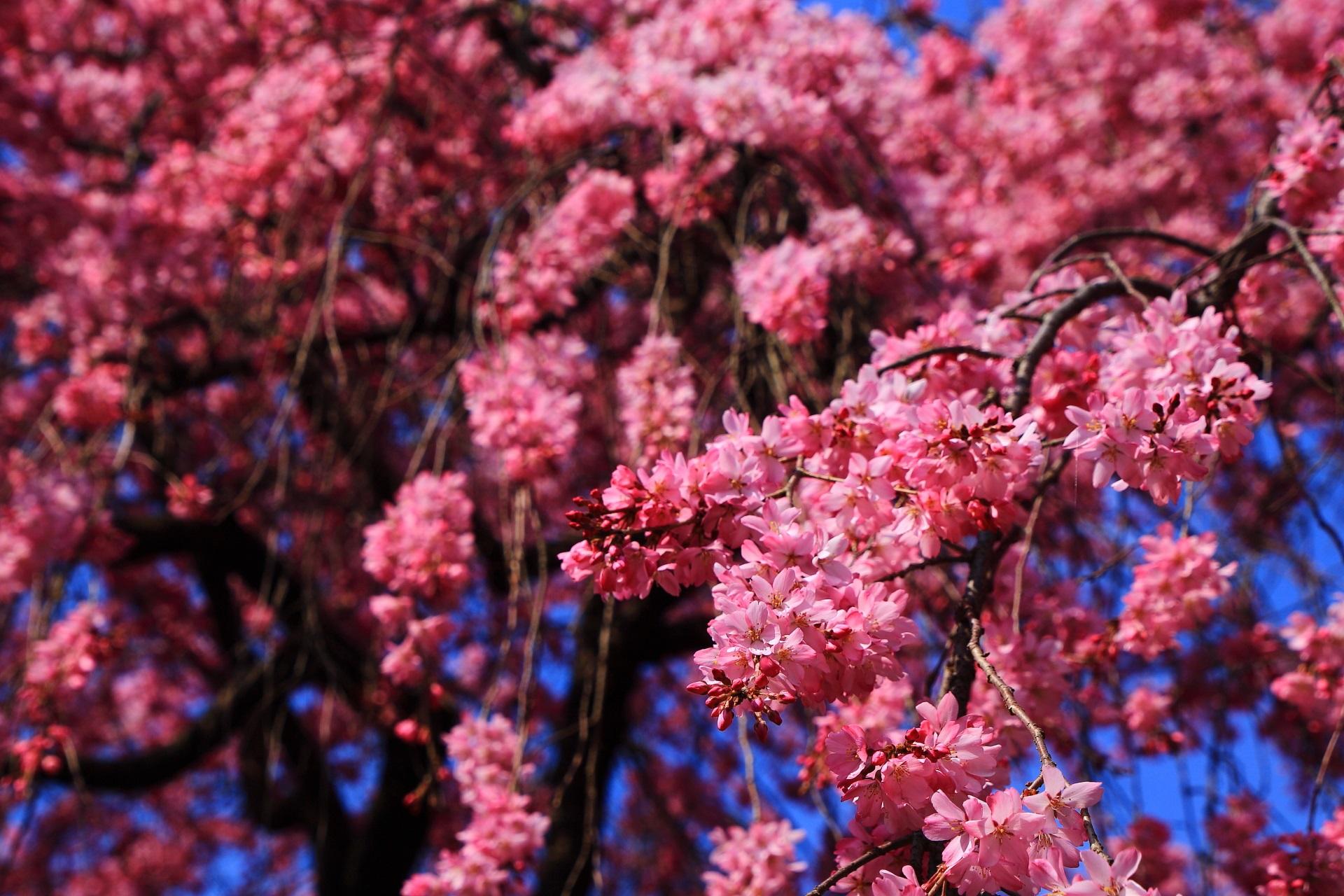 青空に映える濃いめのピンクの桜