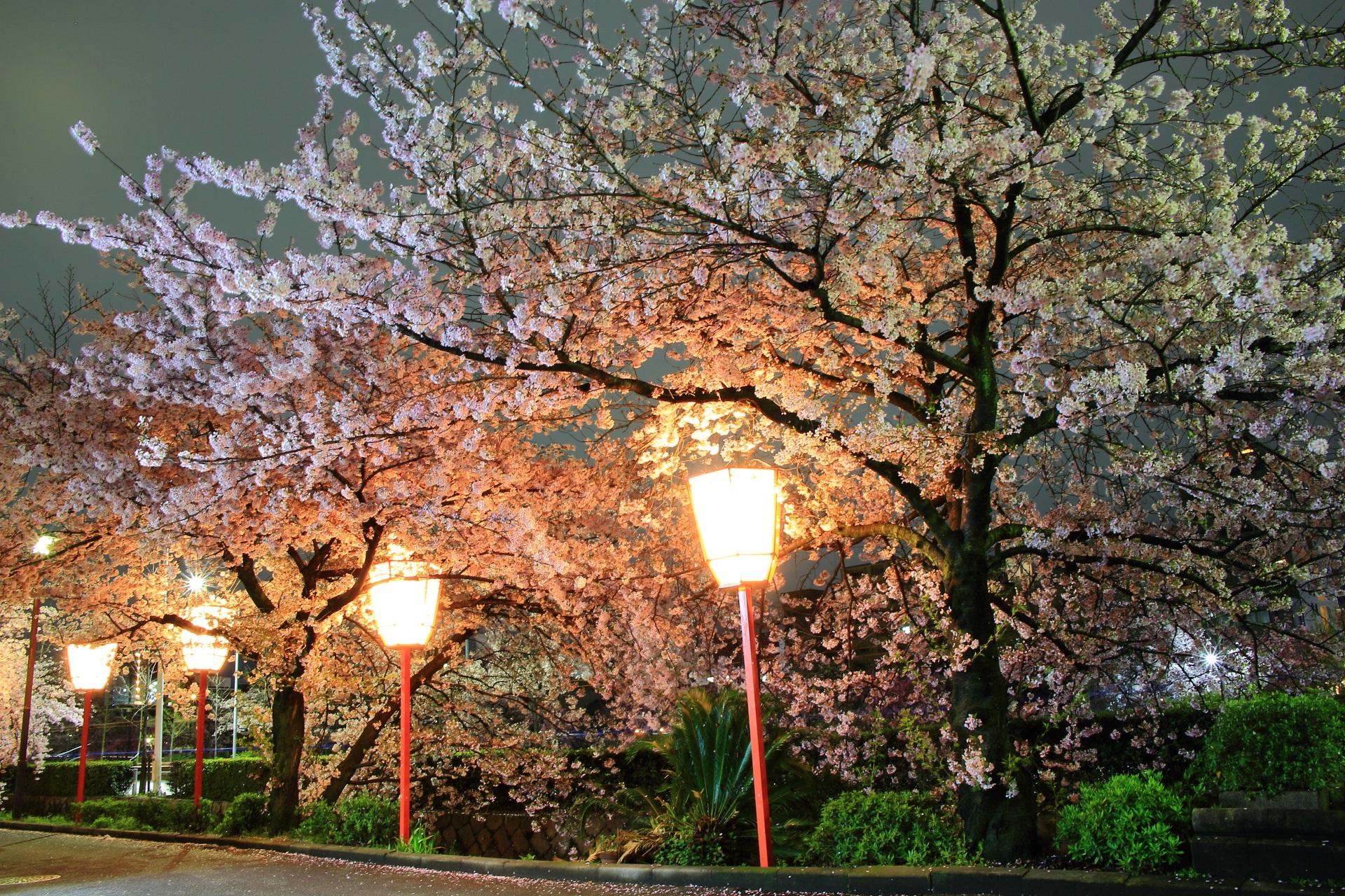 人通りもほとんどない夜中に独り占めする幻想的な桜