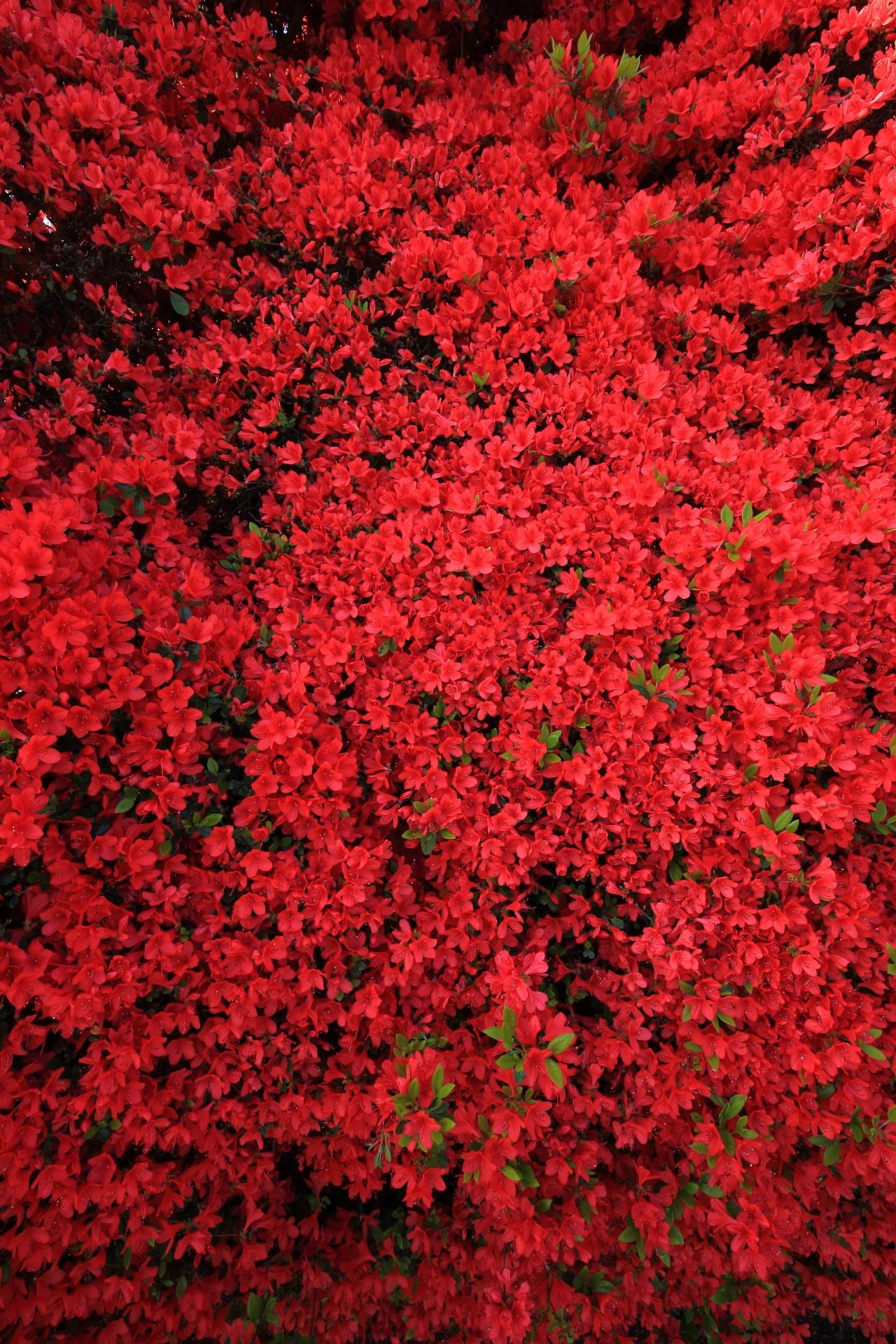鮮烈な赤い一色のきりしまつつじ