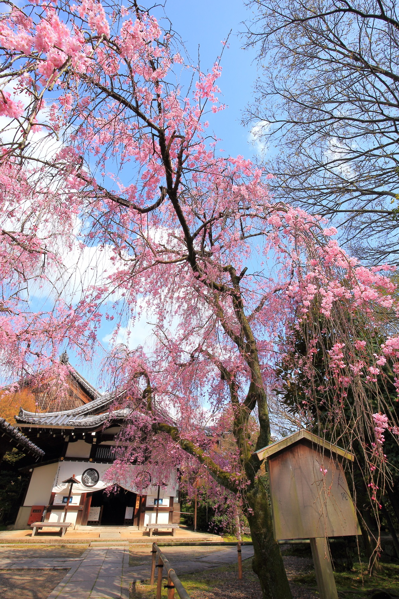 Kyoto Yogen-in Temple weeping cherry tree