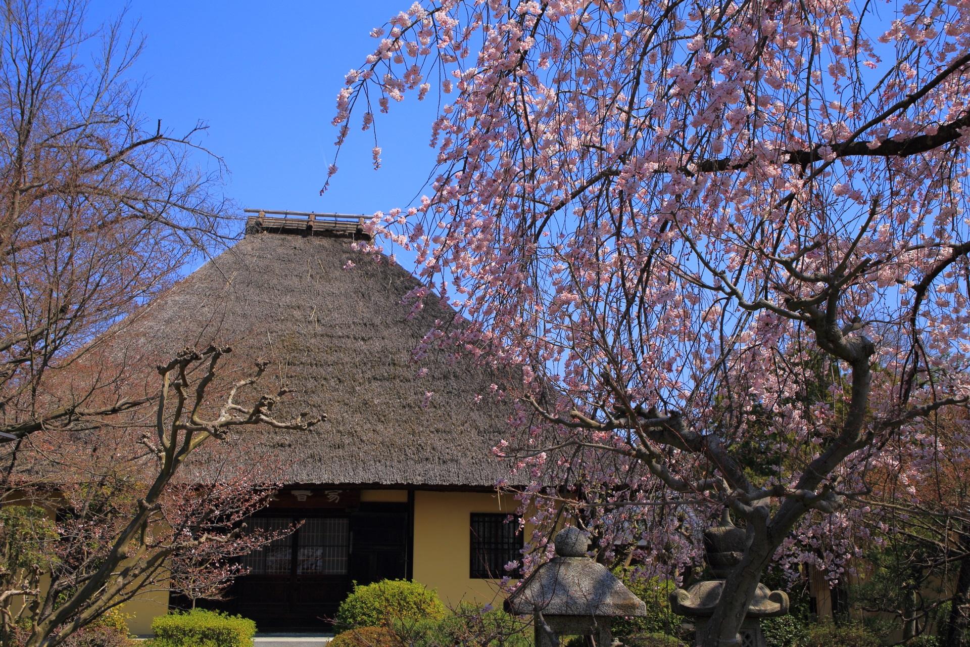 萱葺屋根が演出する独特の風情ある桜の風景