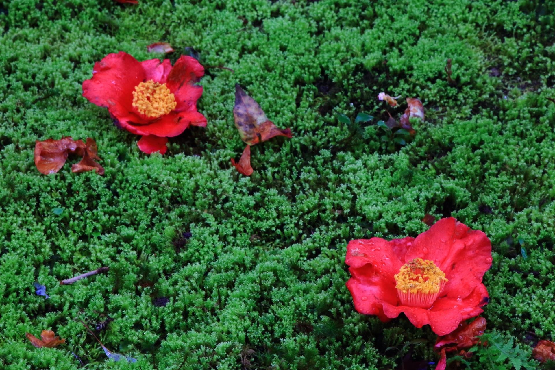 緑の苔の上で咲いているような赤い椿の花