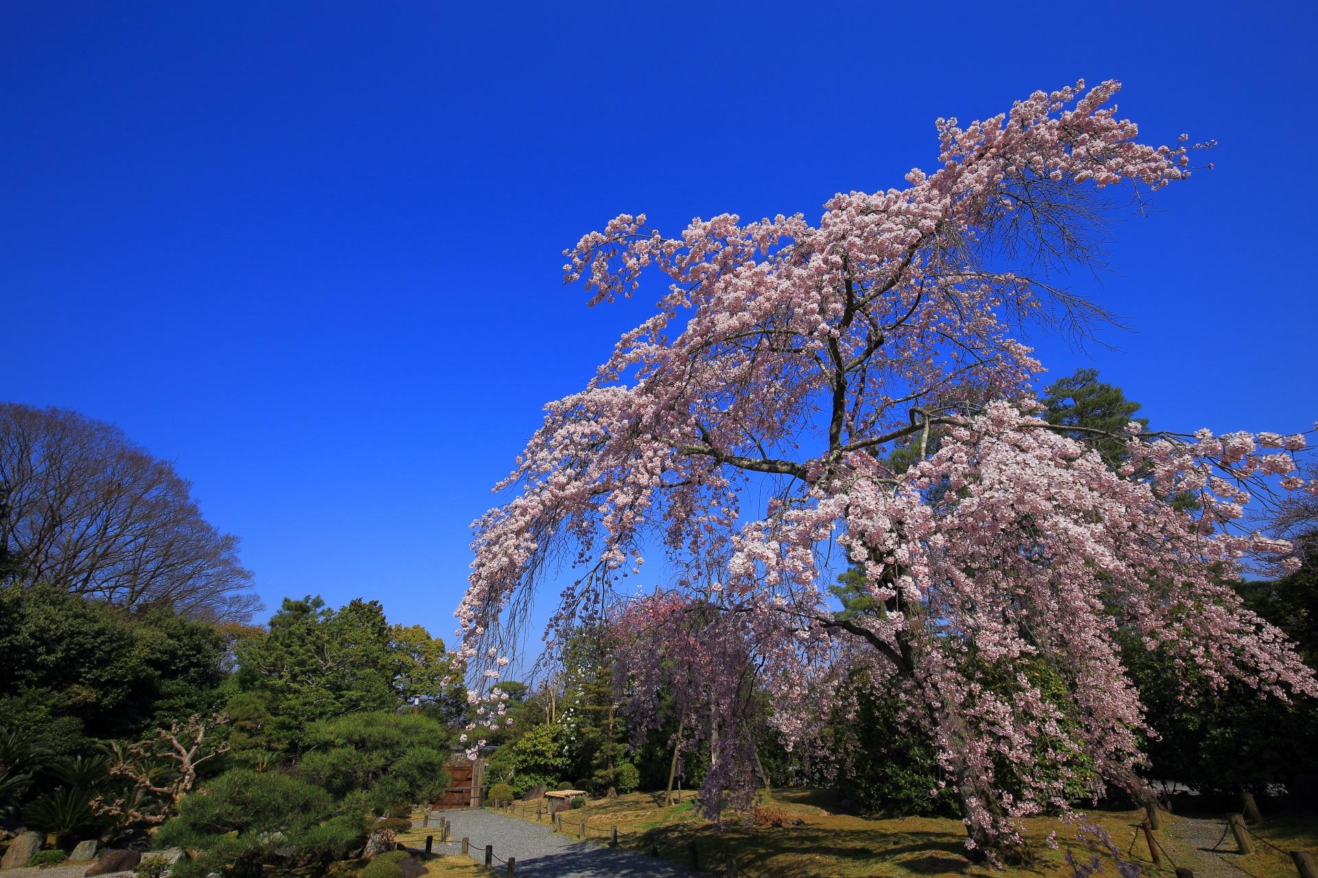 最高の青空の下の間違いなく一生もんの友禅苑の桜