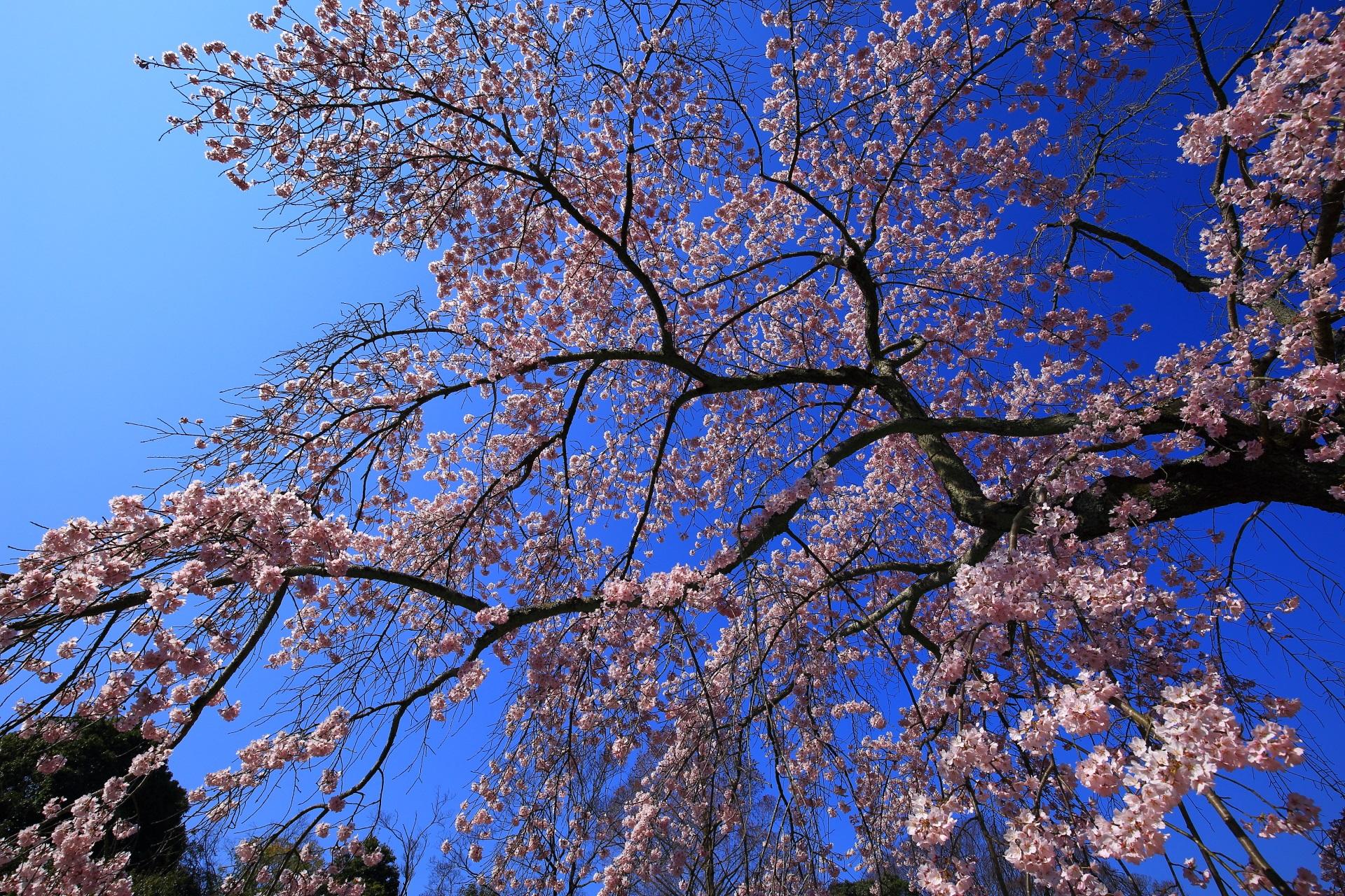 青空を彩る優雅なしだれ桜
