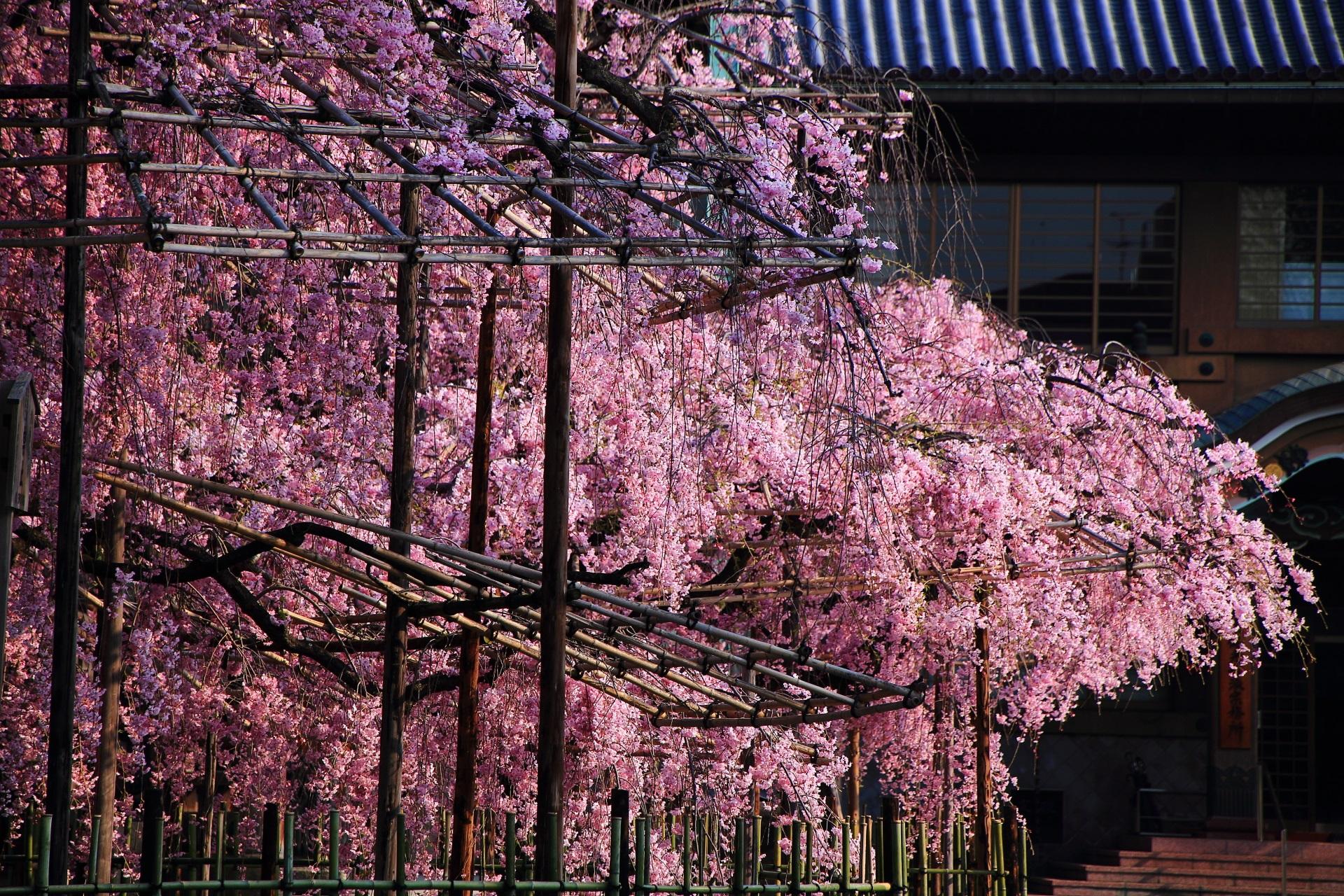 豪快に咲き誇る佛光寺の桜
