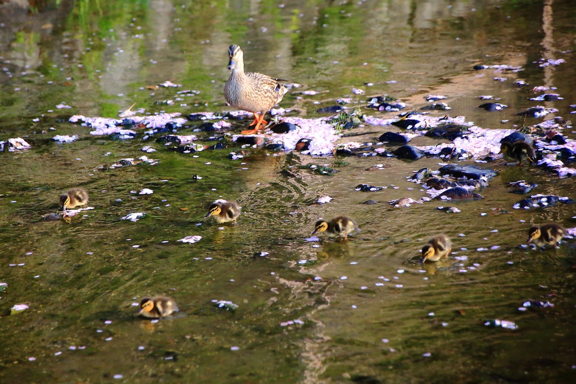 石に引っかかって溜まった桜の花びらを食べる赤ちゃん鴨