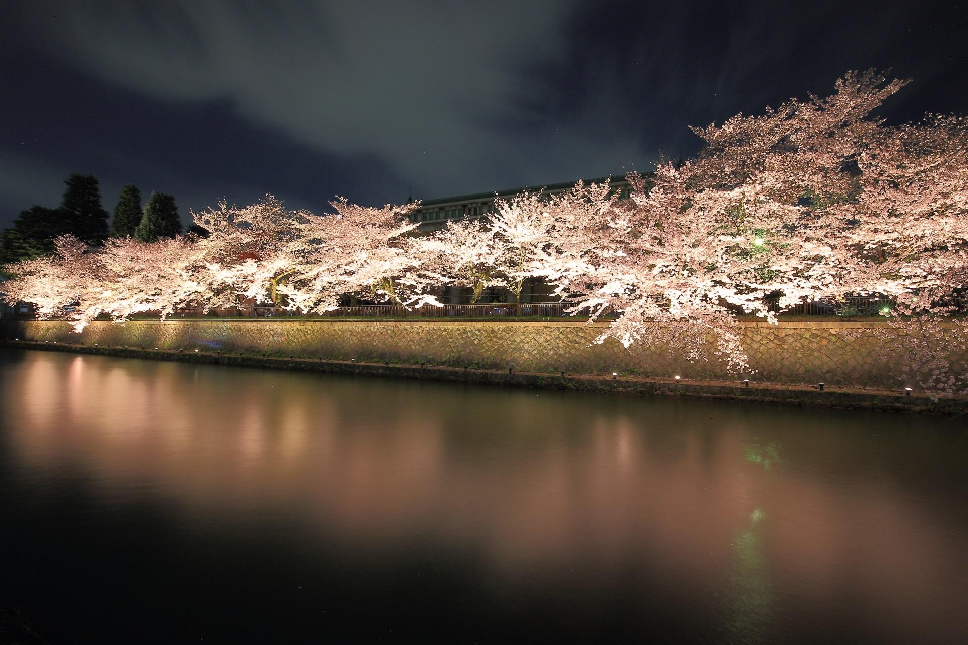 京都市美術館前の夜桜
