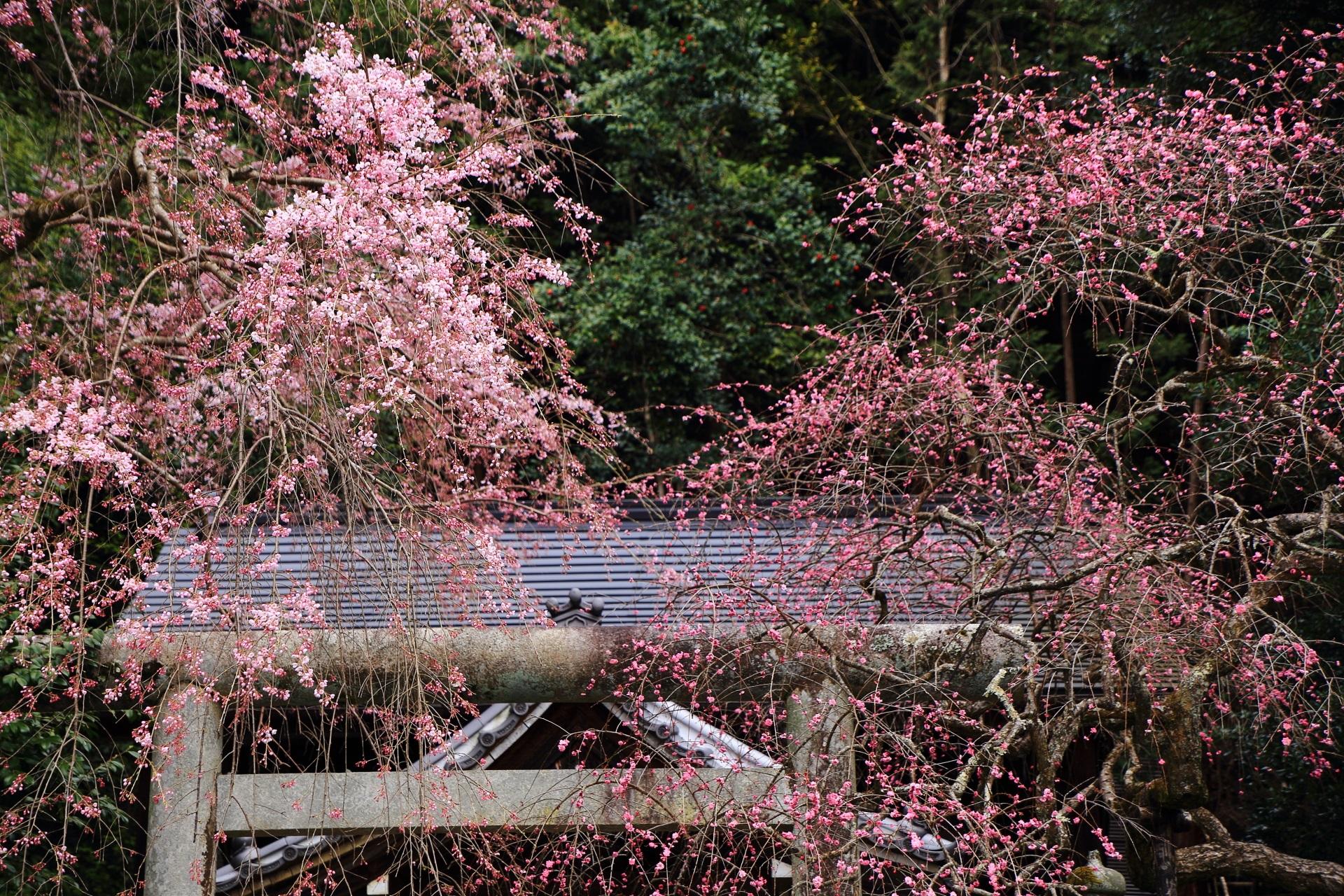 華やかなしだれ桜と鮮やかなしだれ梅
