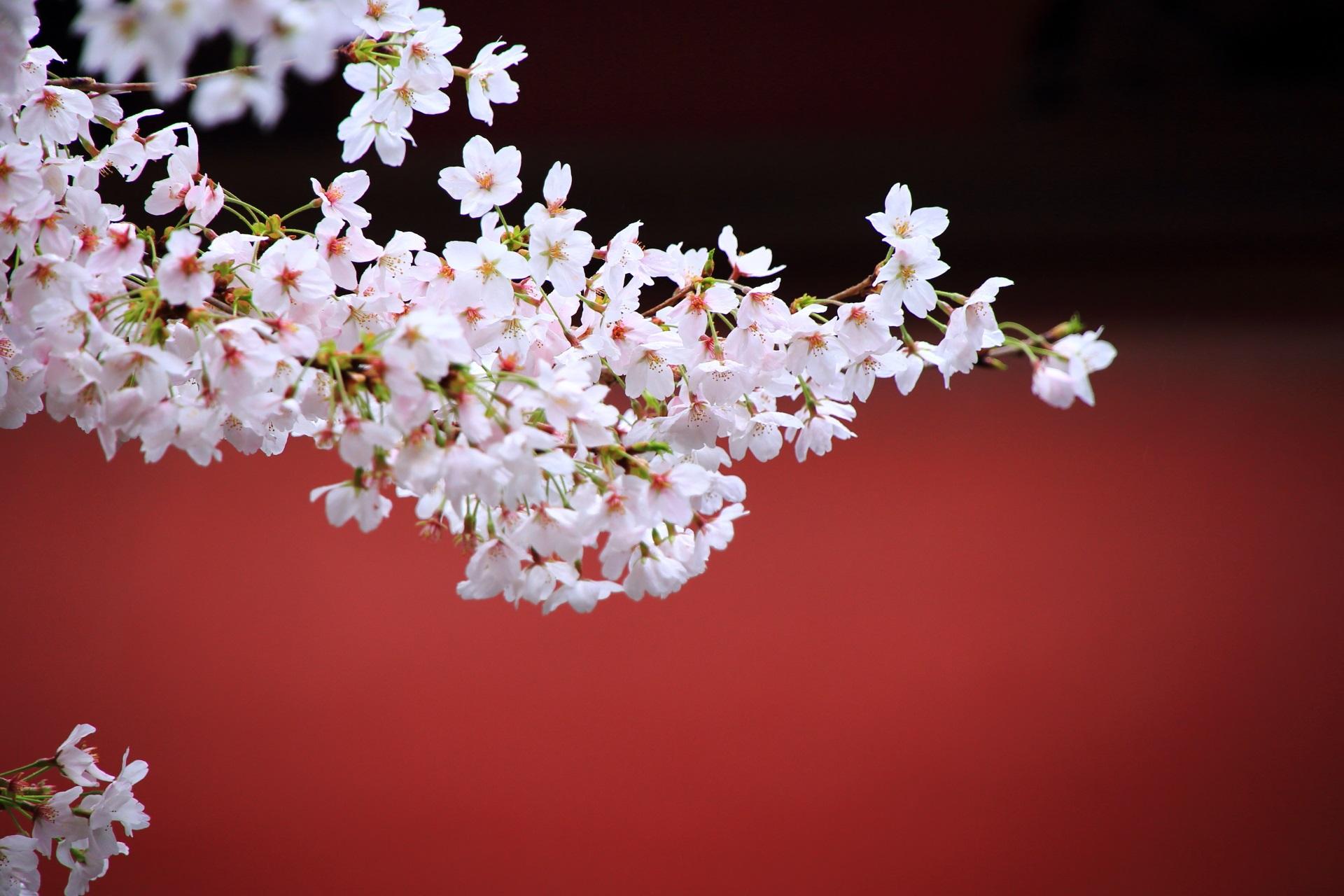 龍宮門の朱色に良く合う桜