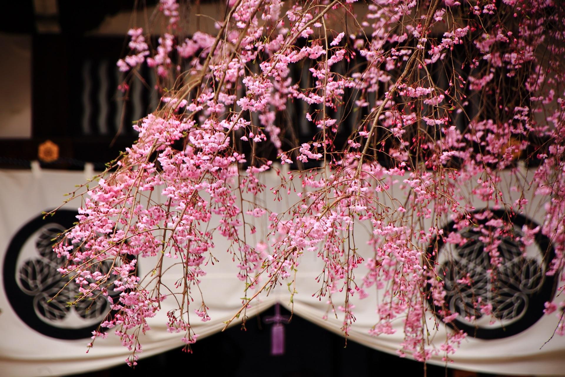 寺紋にかかるピンクの桜