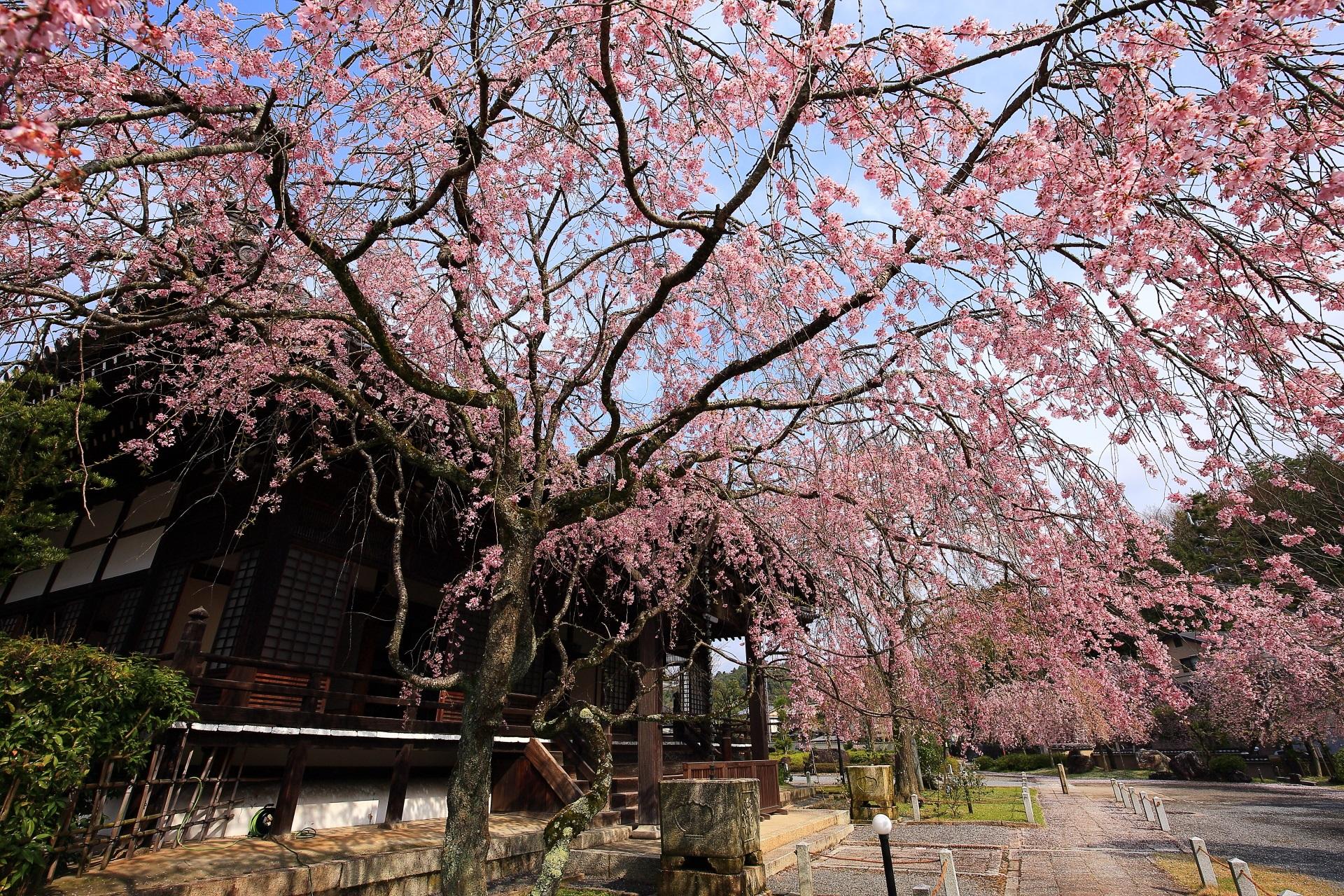 青空が似合う空を覆うしだれ桜
