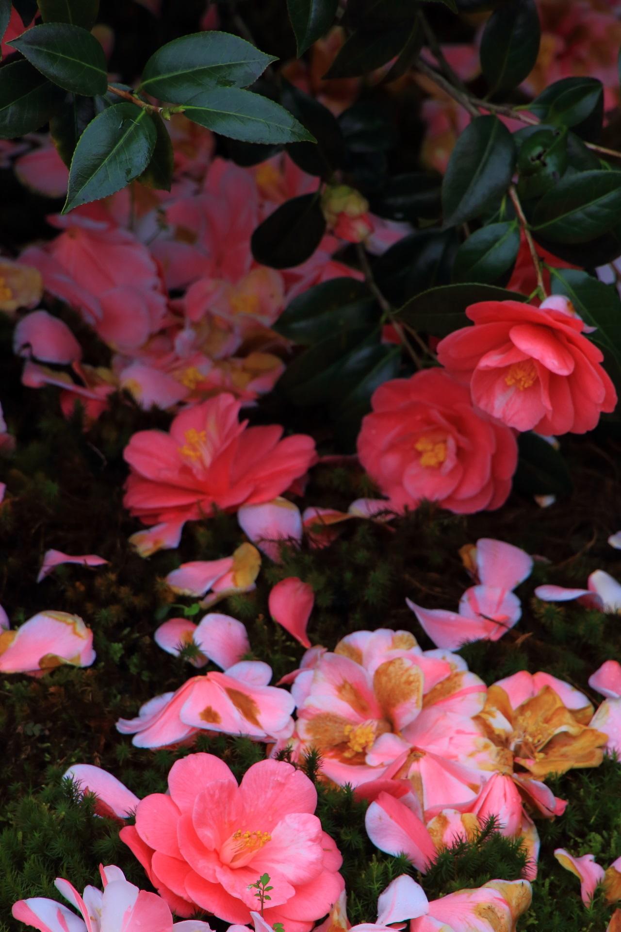 ふかふかの苔の上に咲くように散っている椿