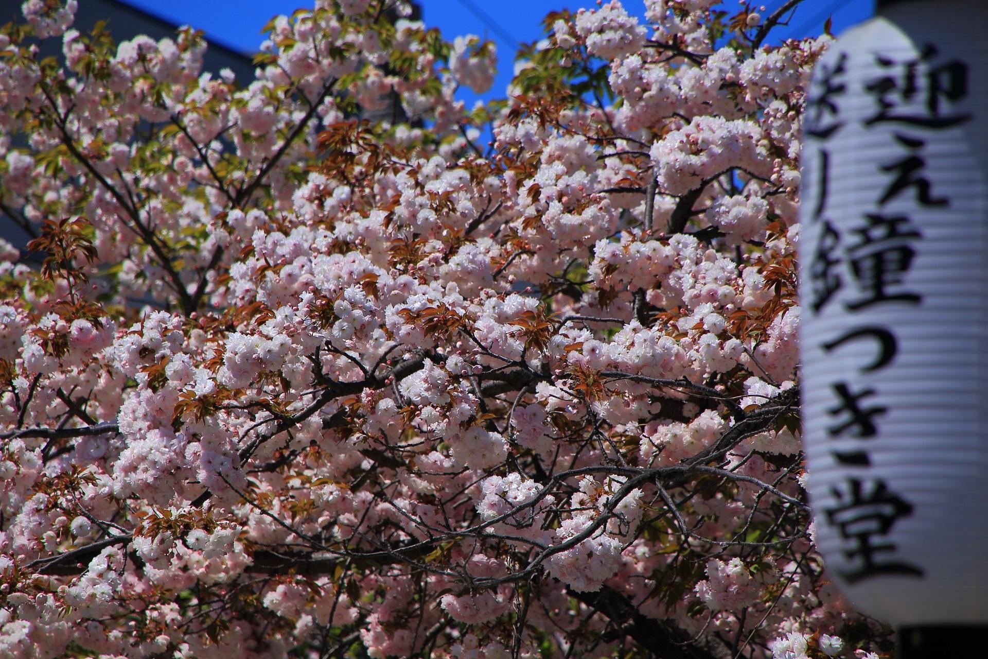 天気も良く輝く満開の桜