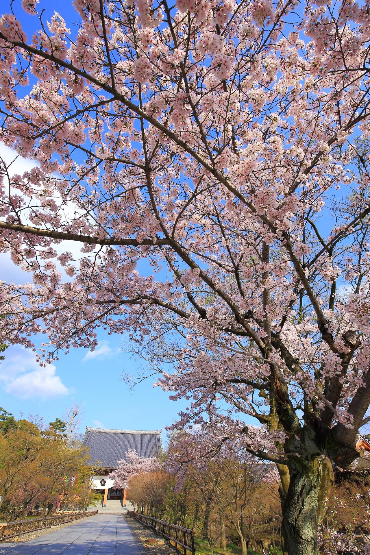 智積院の素晴らしい桜と春の情景