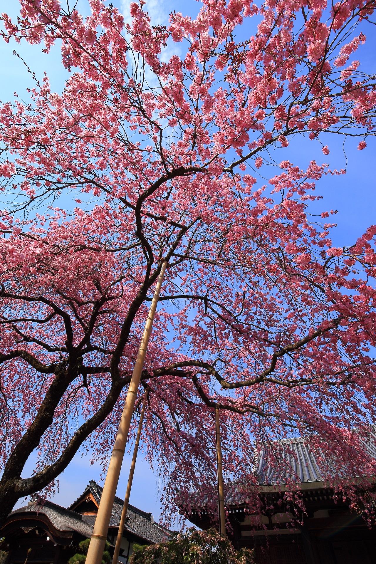 法金剛院の素晴らしい桜と春の情景