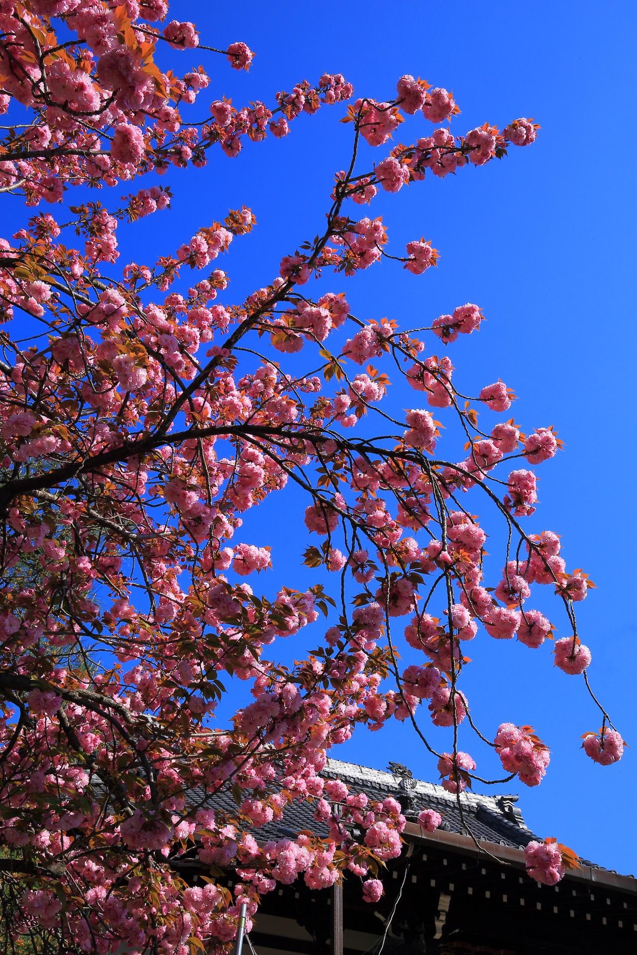 本満寺の素晴らしい桜と青空と春の情景