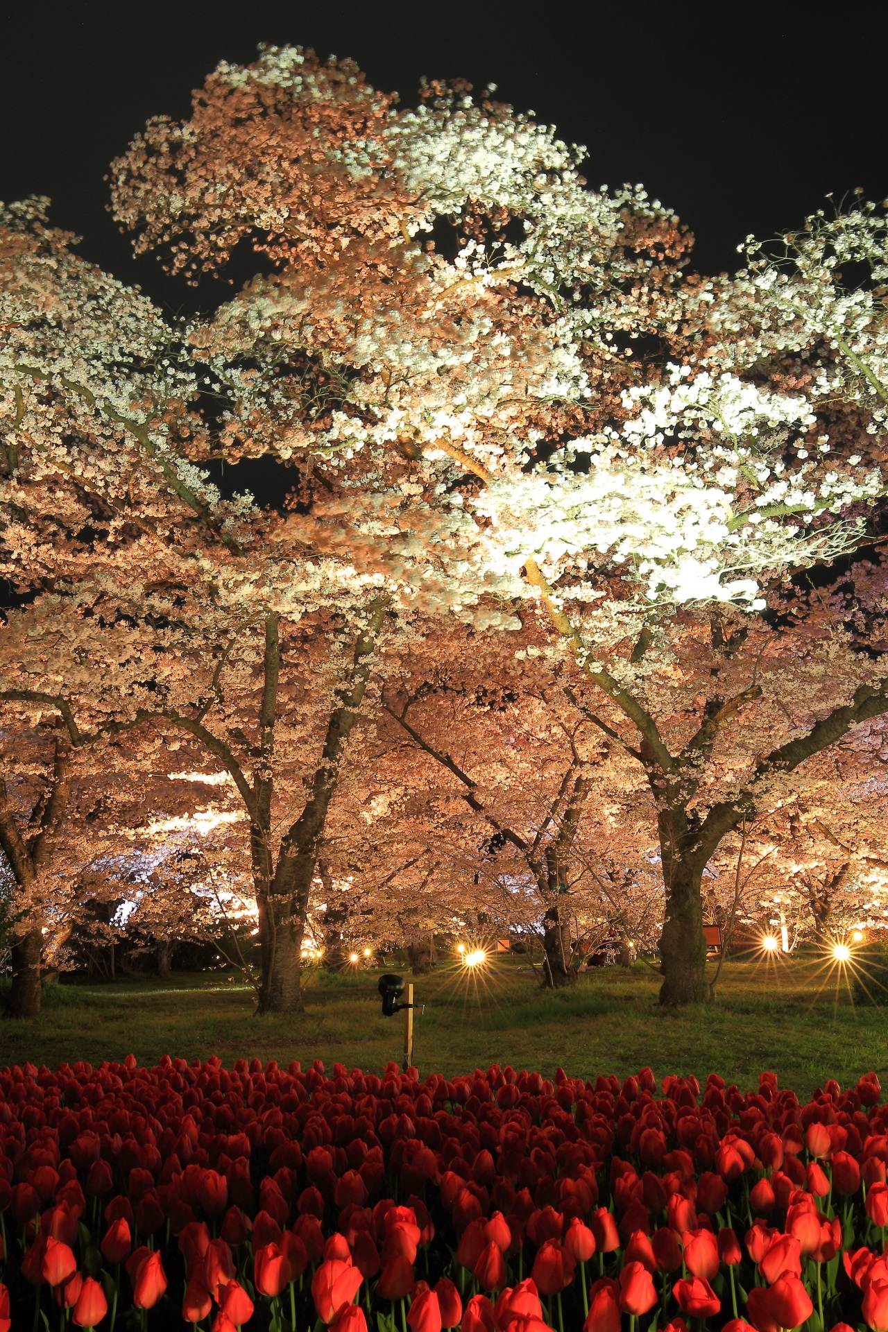 Kyoto Prefectural Botanical Garden cherryblossoms lightup