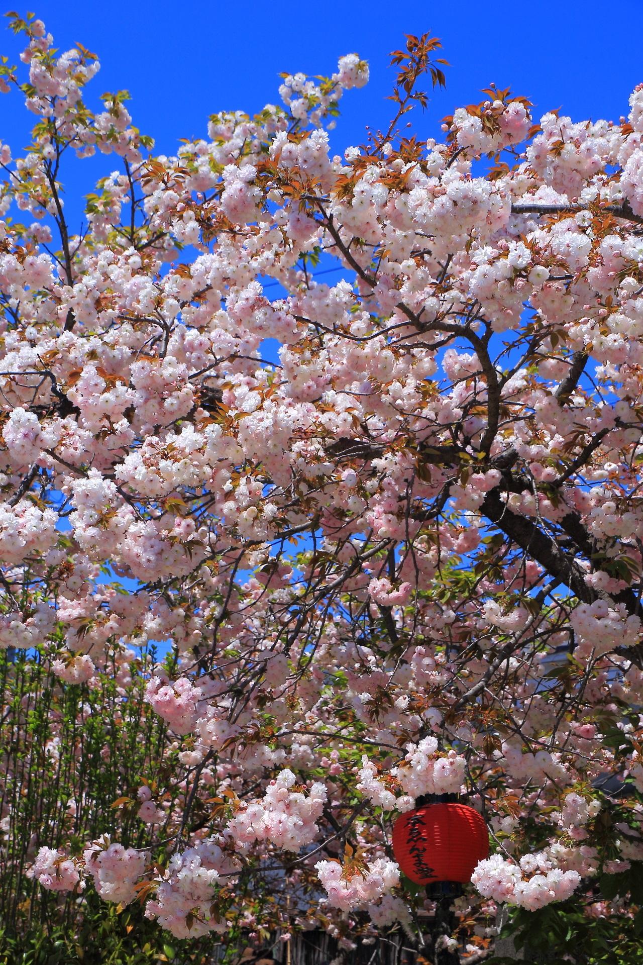 千本ゑんま堂のの素晴らしい桜と春の情景