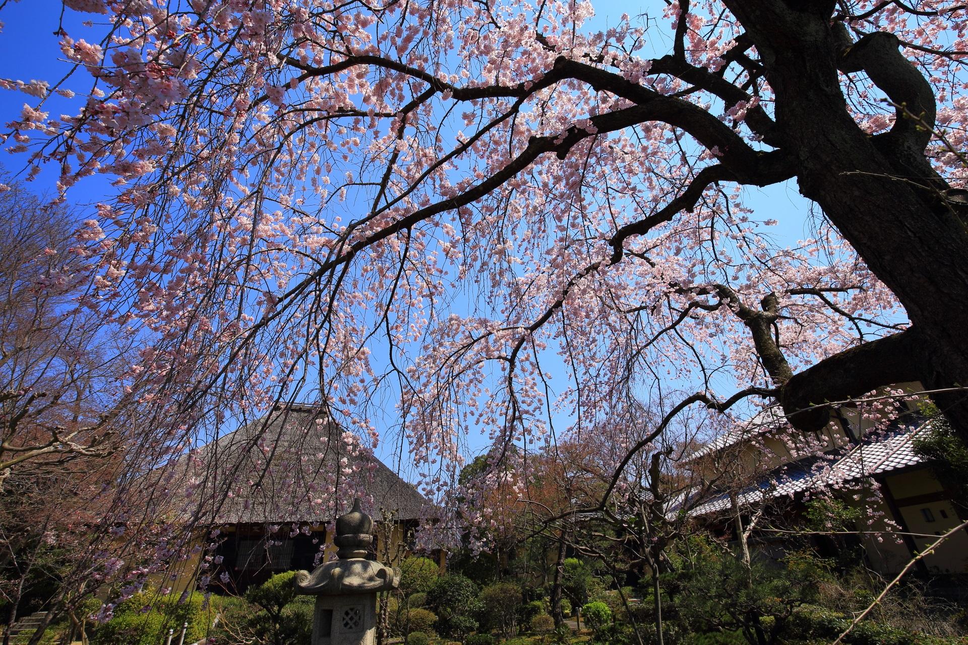 本堂に優雅にふりそそぐ枝垂れ桜