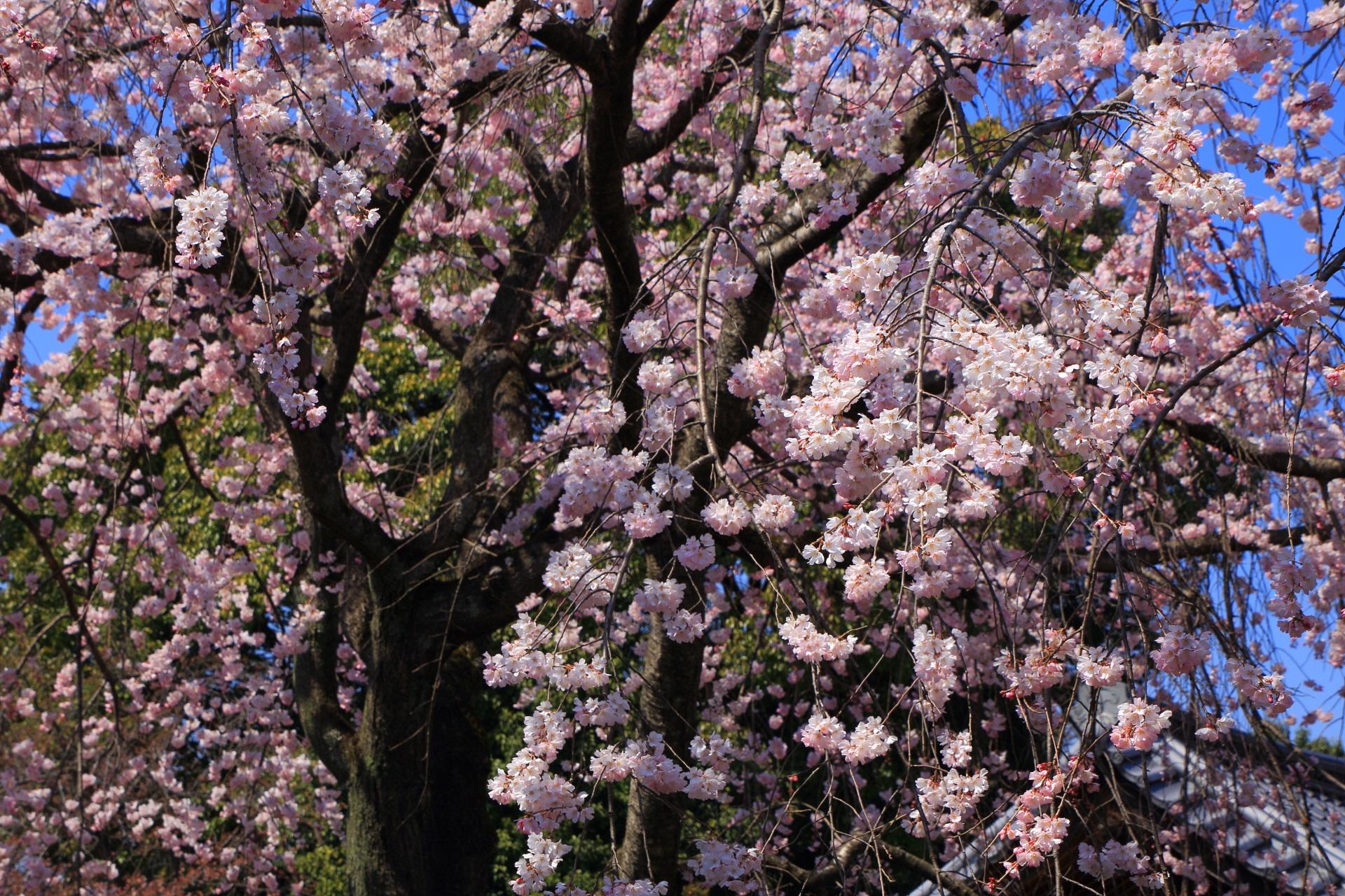 青空に映える満開のピンクの桜