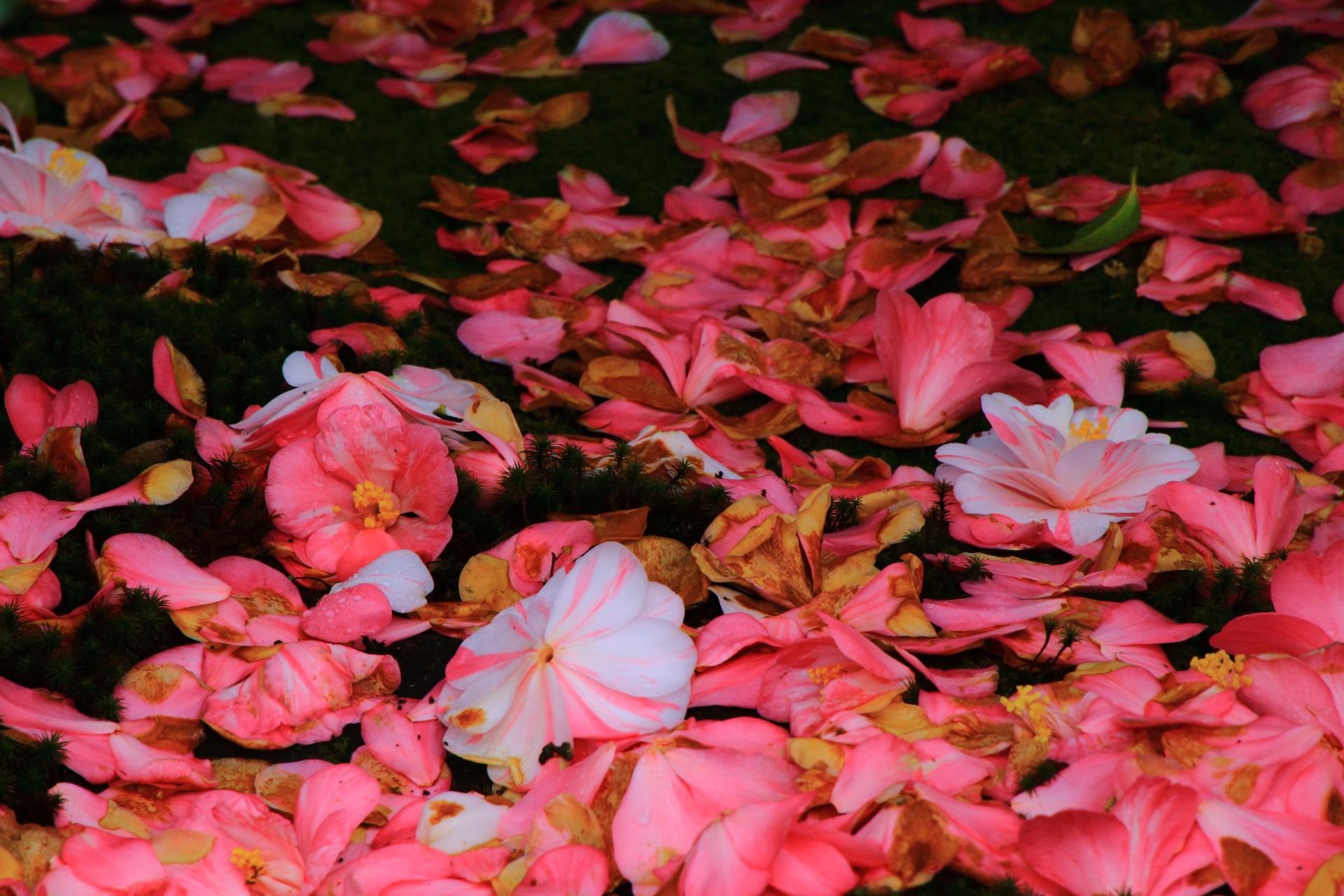 散ってからも美しい椿寺の椿