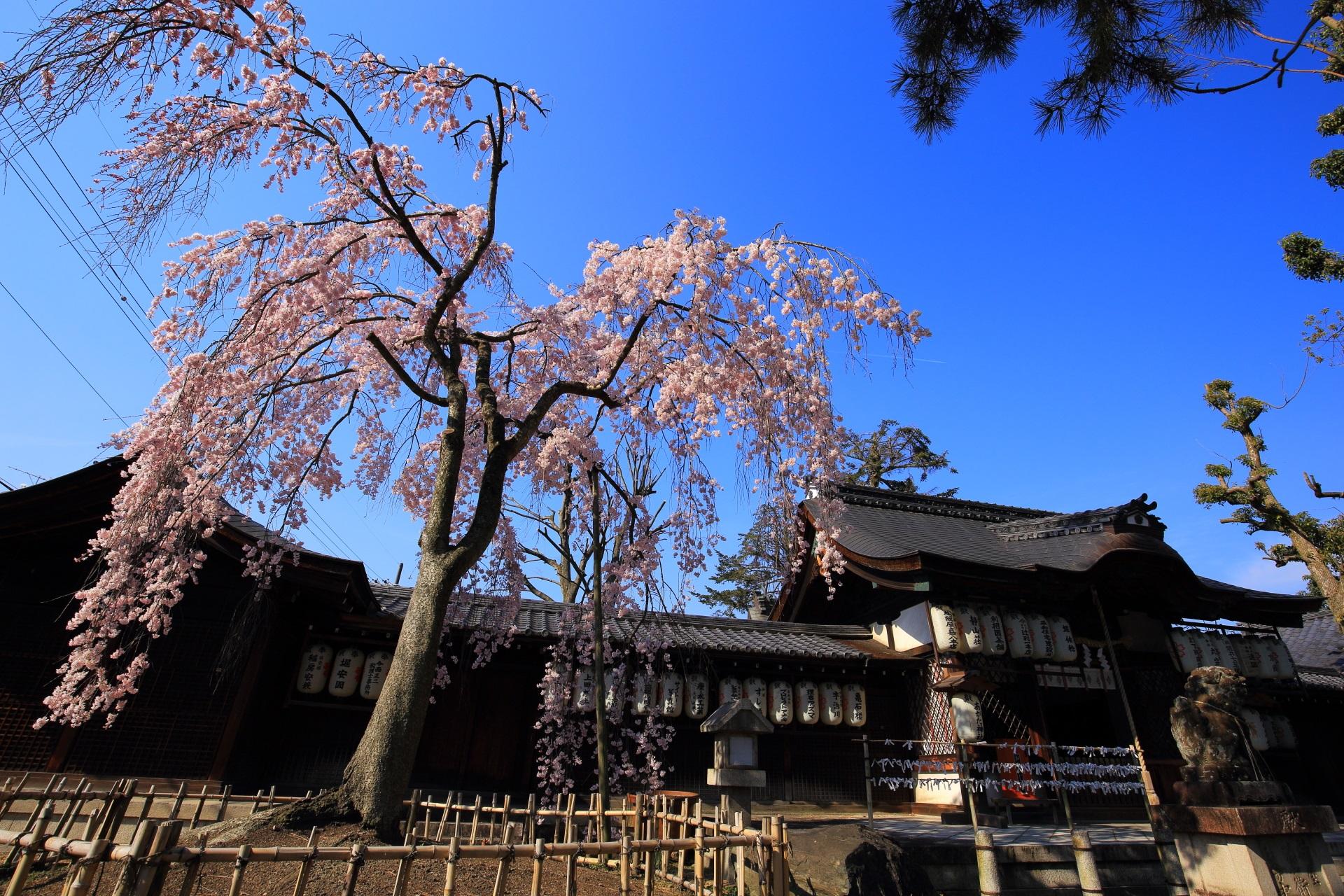 高画質 写真 縣神社 桜