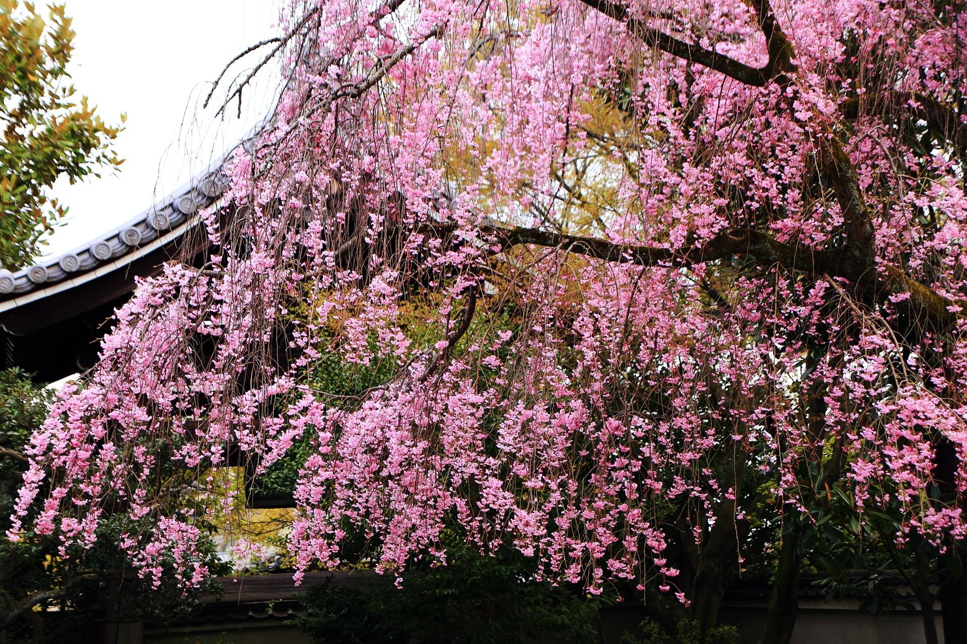 桜のピンクのカーテン