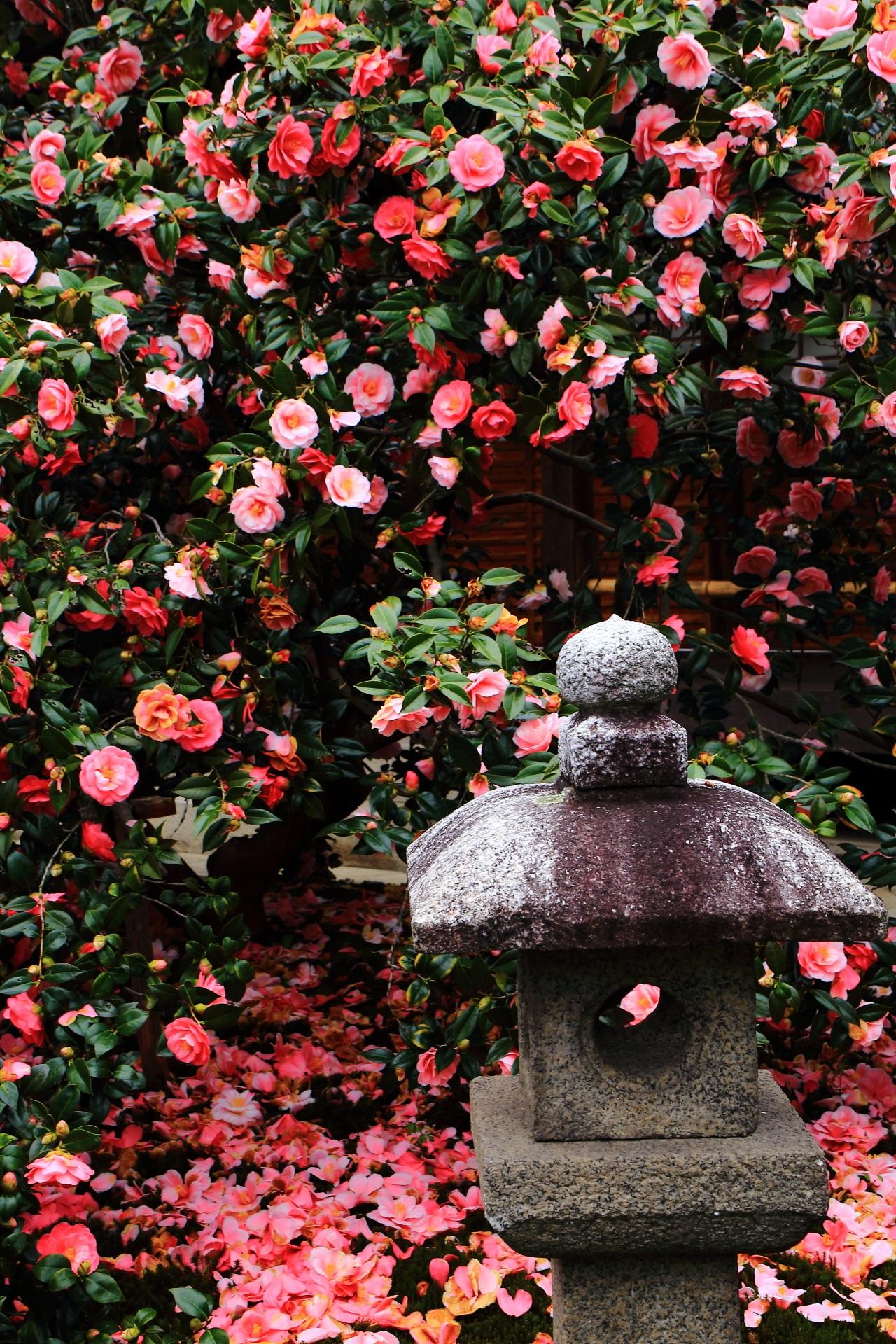 Kyoto Tsubakidera Jizoin Temple camellia