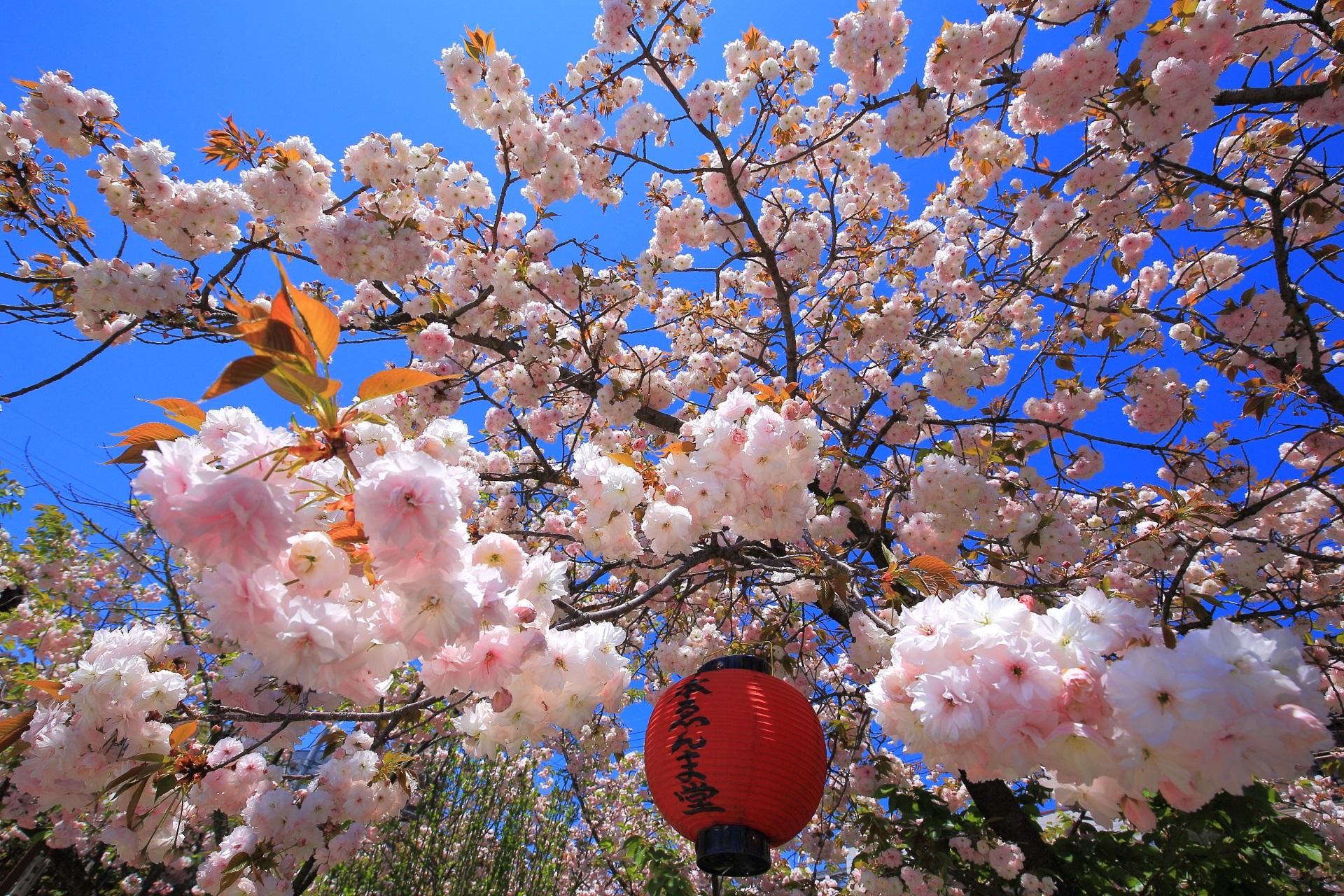 ゑんま堂普賢象桜と言う名前がついた千本ゑんま堂(引接寺)の桜