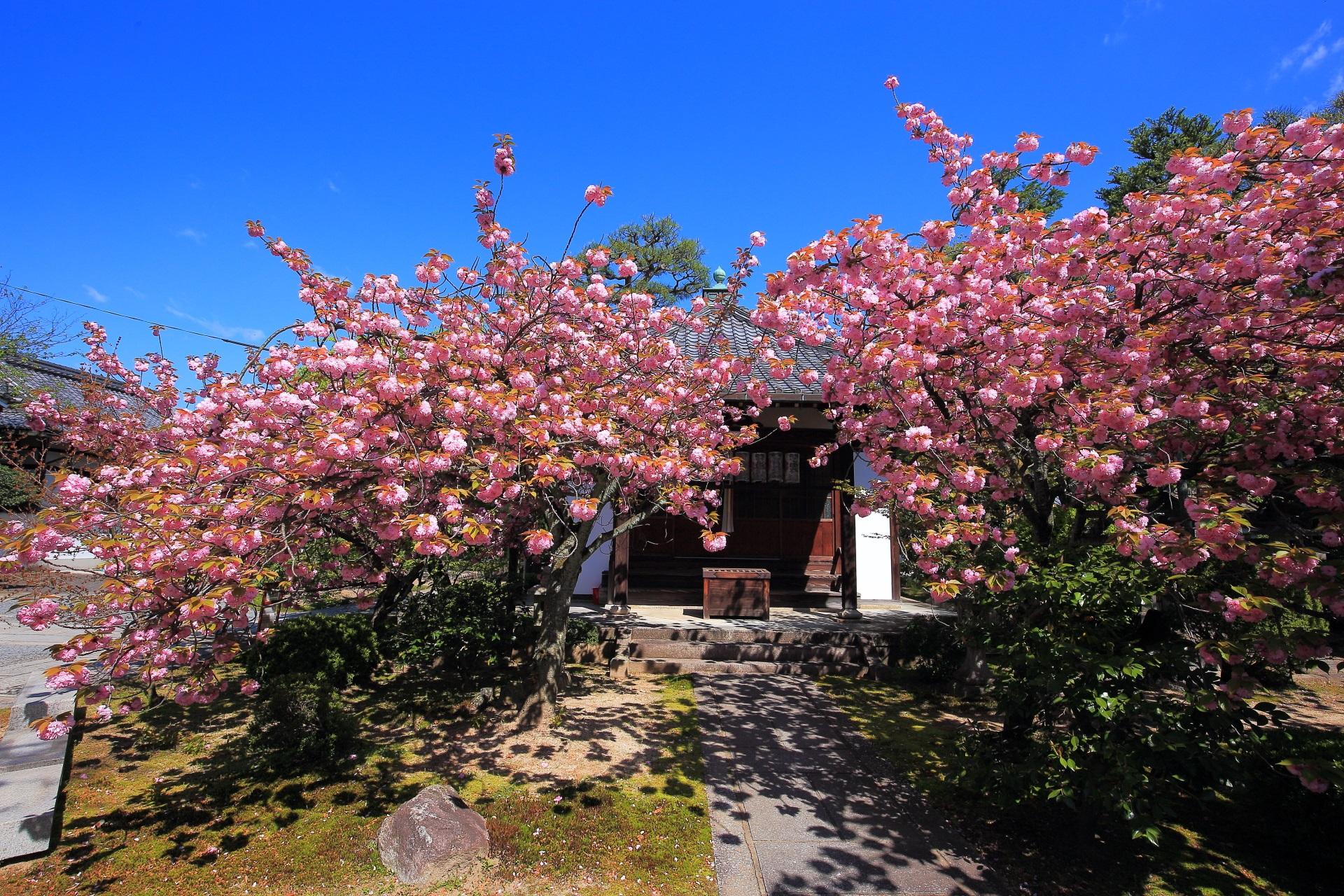 独り占めできる本満寺の八重桜