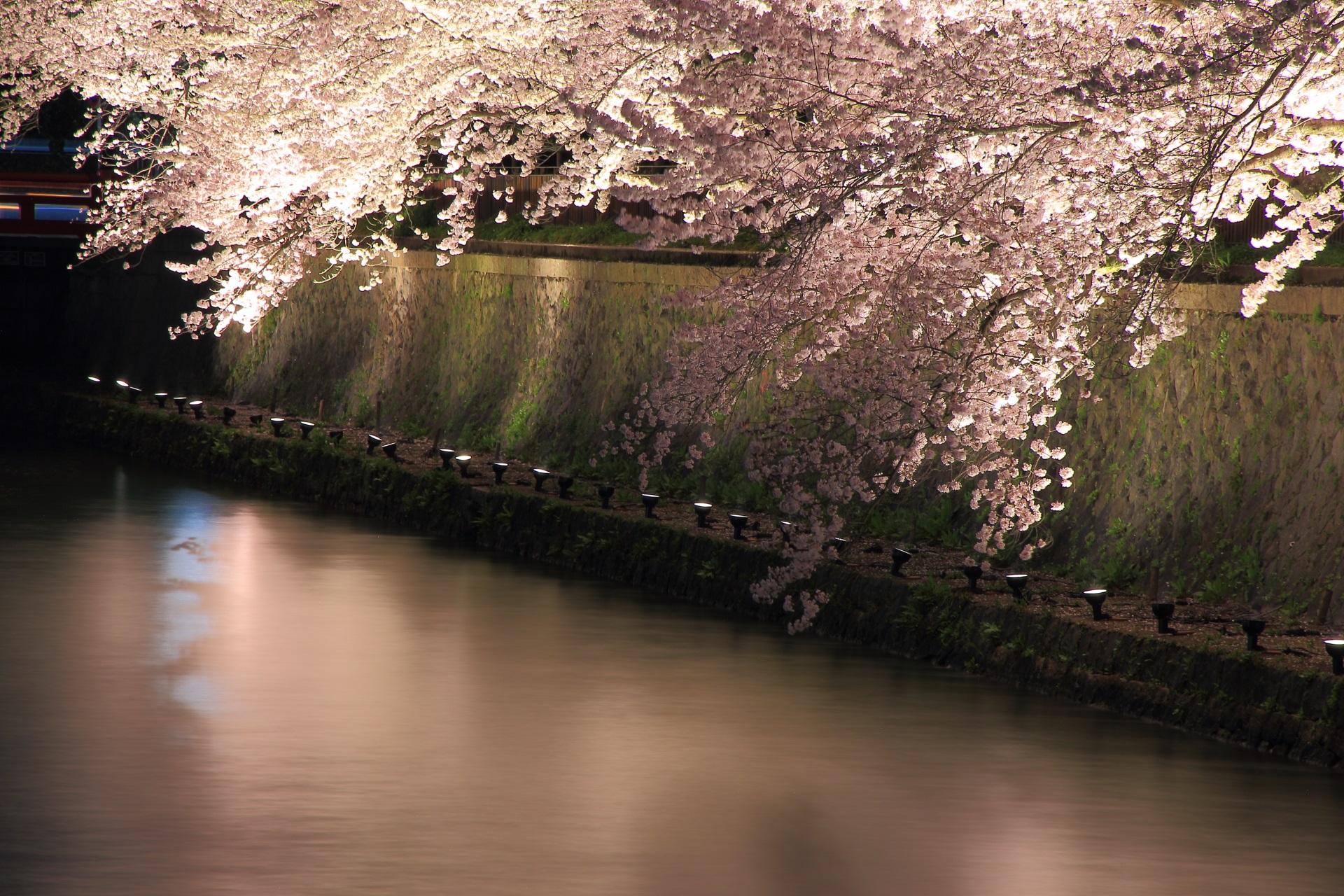 岡崎疏水の綺麗な桜の水鏡とモコモコに咲き誇る夜桜