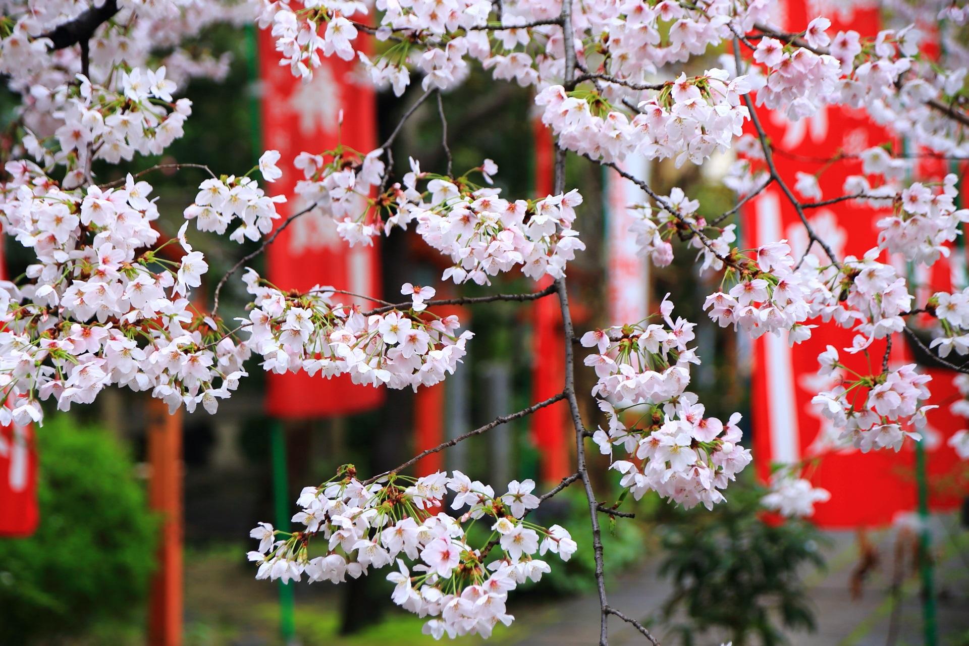 長建寺の華やかで繊細な桜