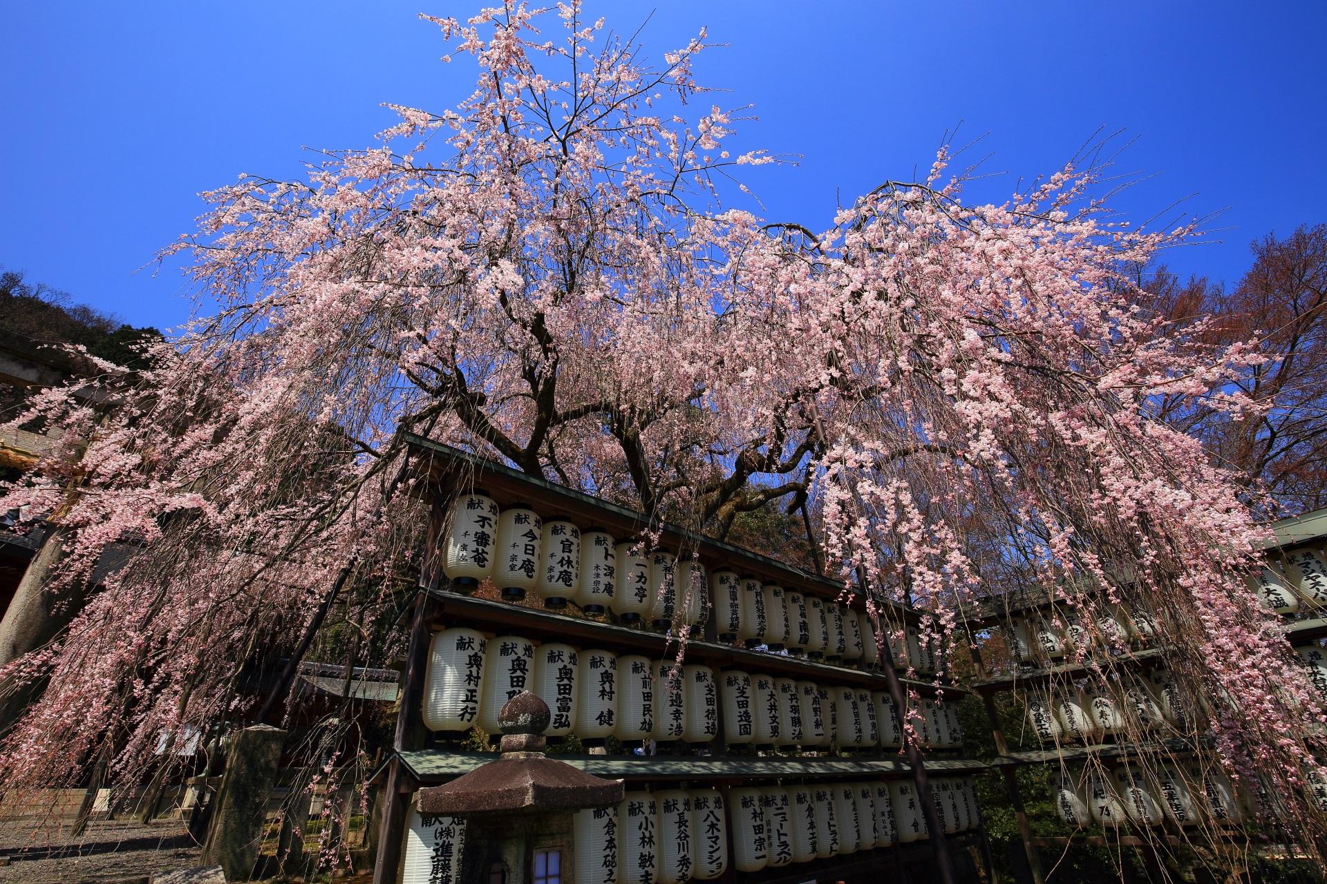 爽快な青空の下の駒形提灯にふりかかる絵になるピンクのしだれ桜