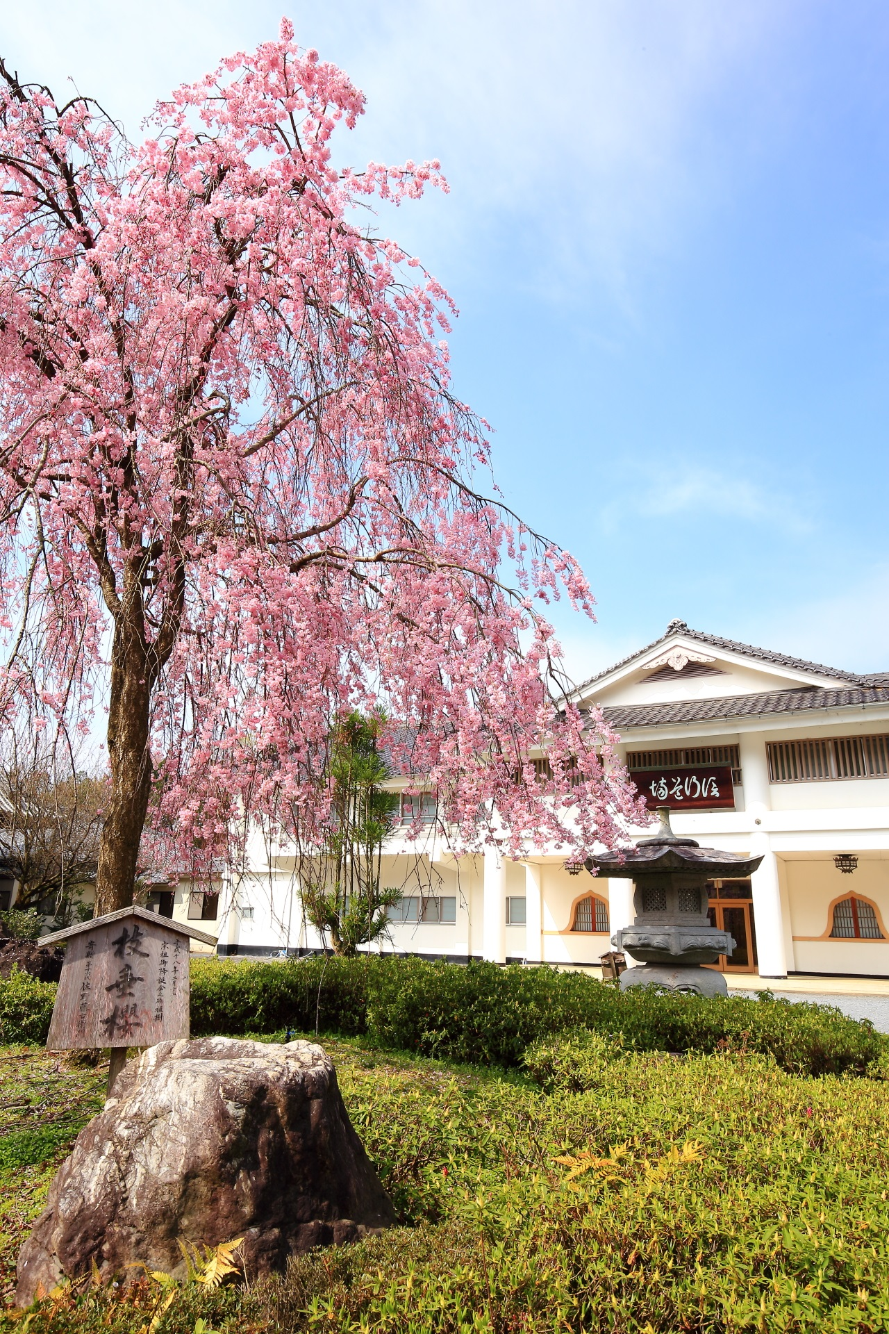 Kyoto Myoman-ji Temple cherry trees at evening