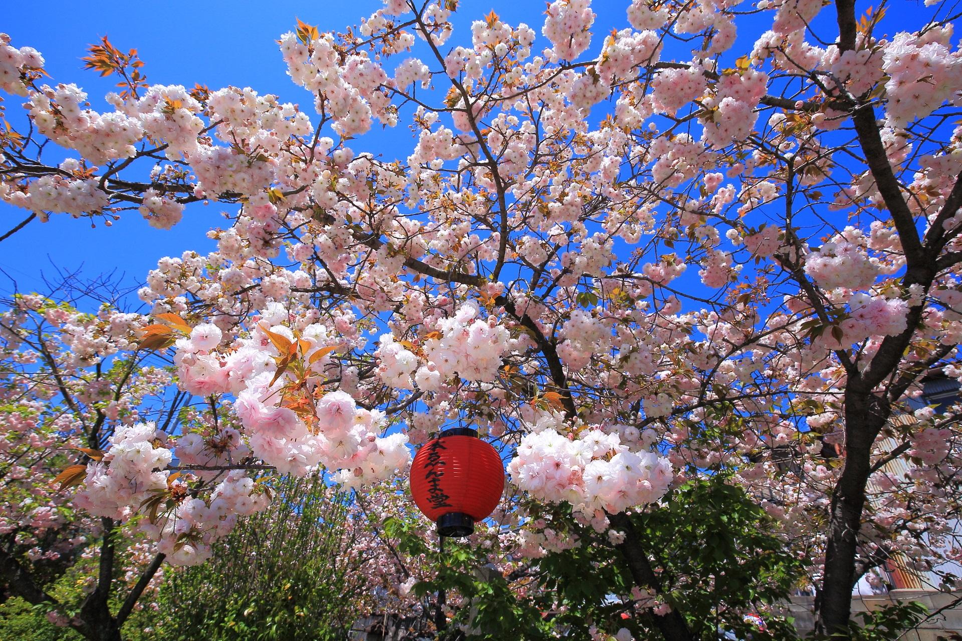 高画質 写真 千本ゑんま堂 桜