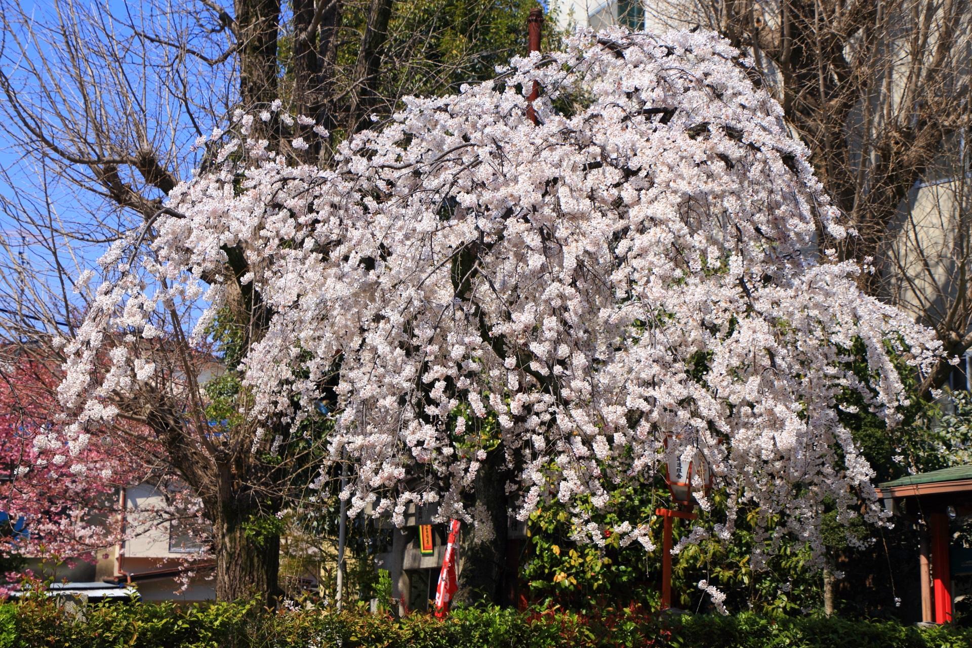 花が密集している長建寺の超満開の桜